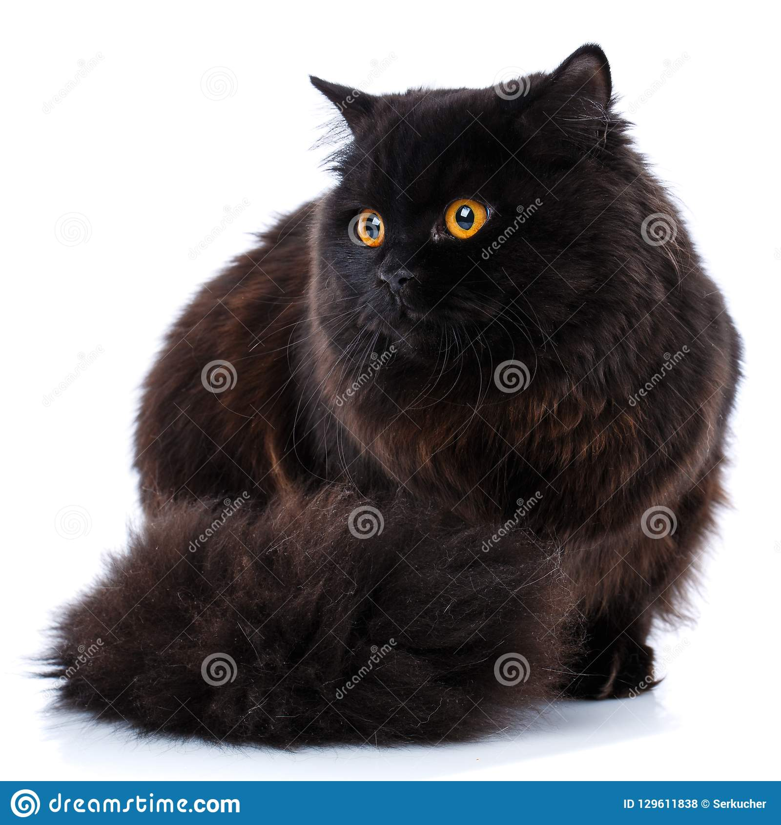 Pet Purebred Brytyjski kot na białym tle