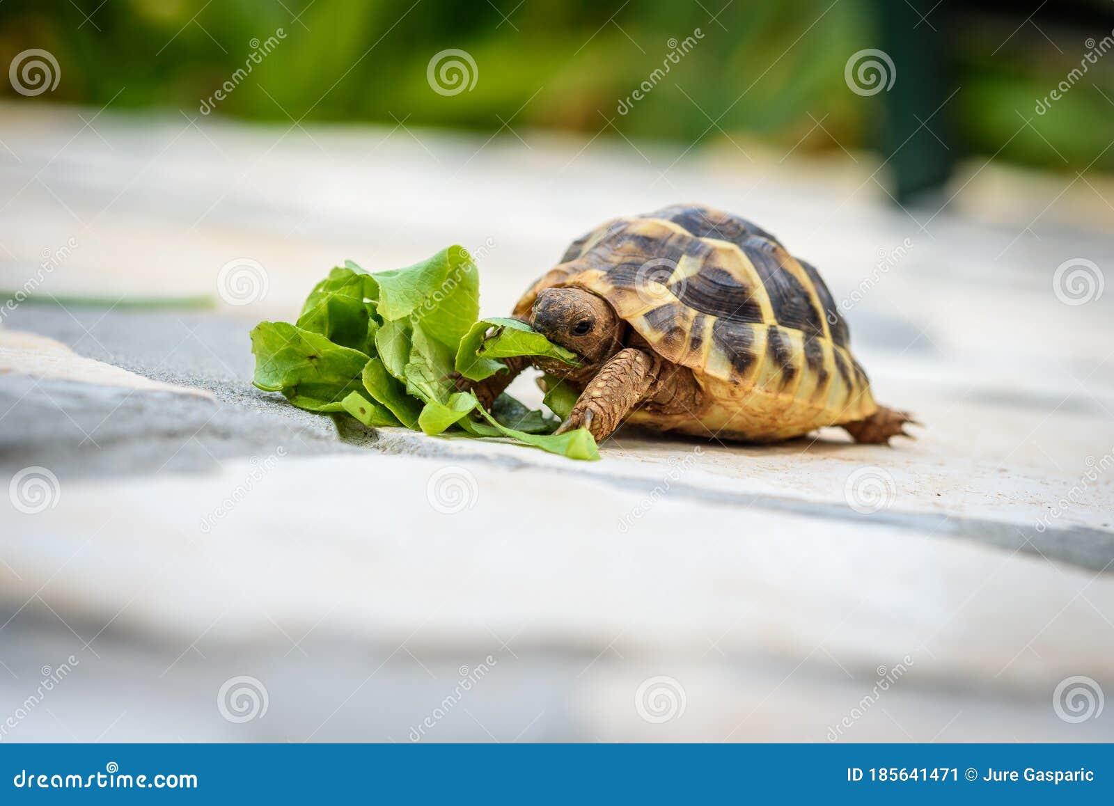 Pet Turtle Eating Lettuce Salad On Stone Paved Terrace Stock Image Image Of Slow Head 185641471