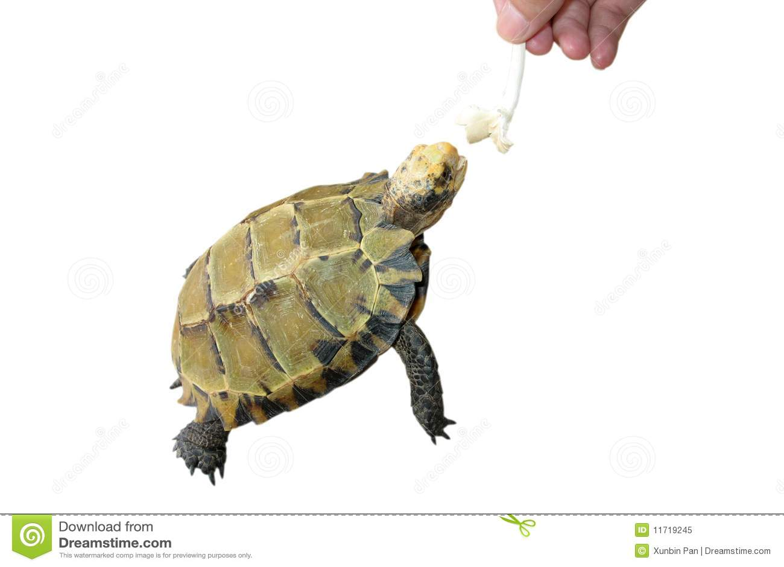 Pet Turtle Feeding Royalty Free Stock Photo - Image: 11719245