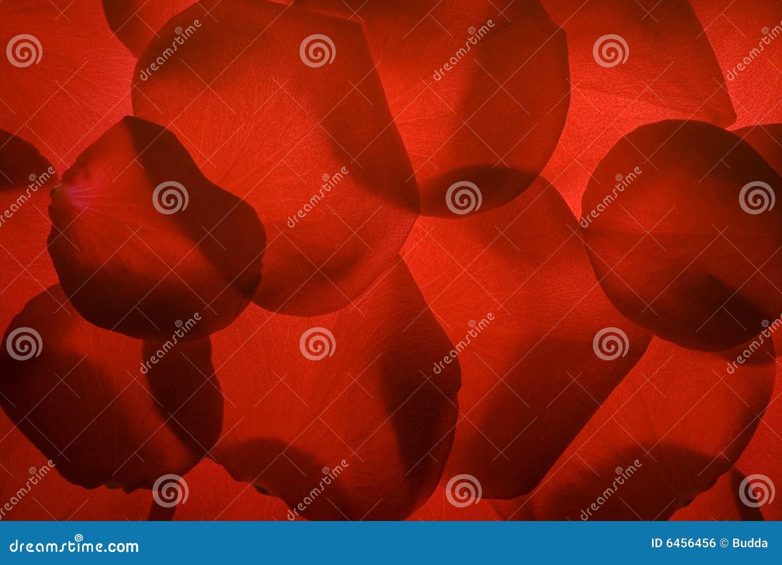 Petal czerwona róża piękna