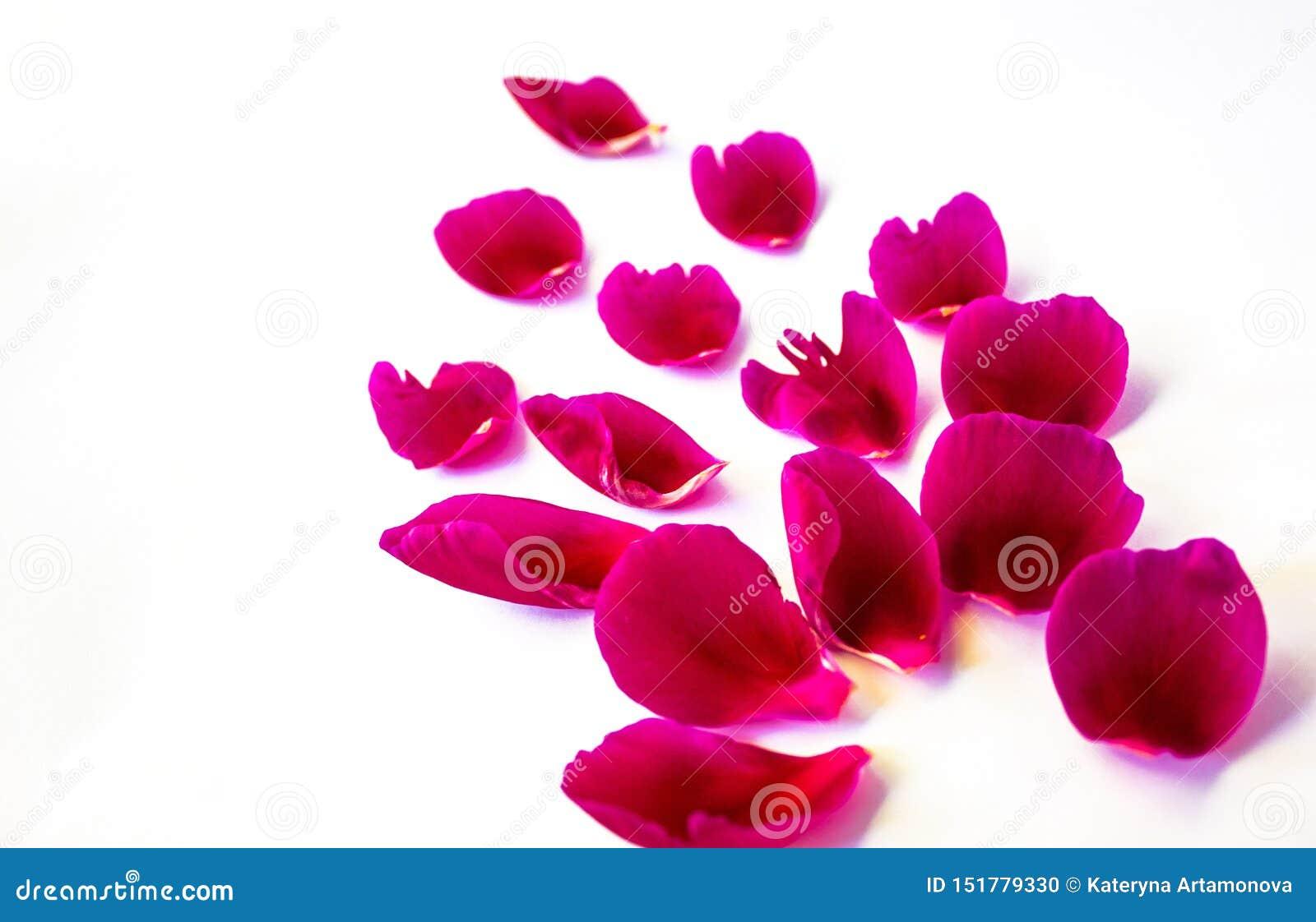 Petali della peonia rosa, di varie forme e dimensioni Su una priorit? bassa bianca