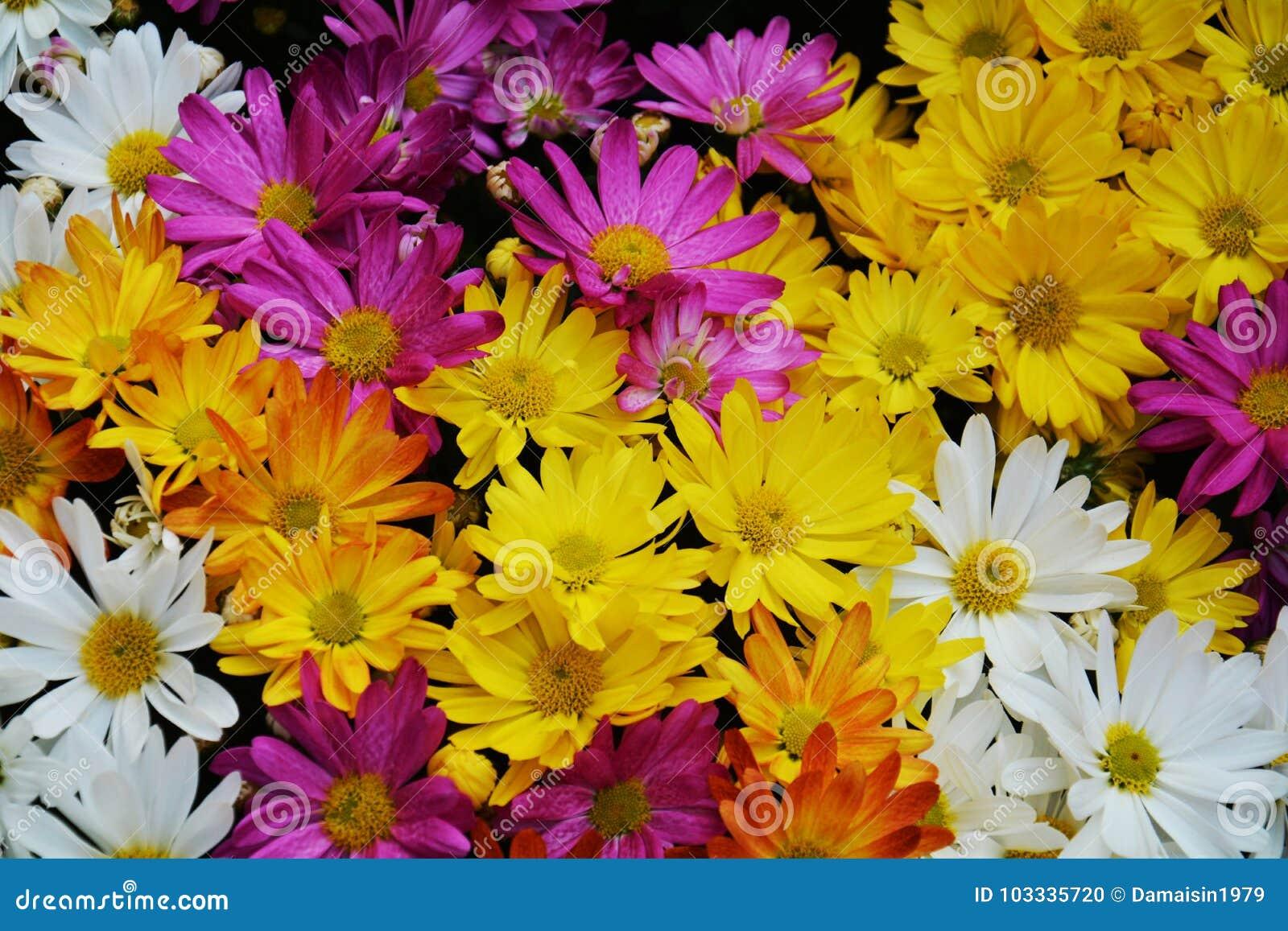 Fiori Gialli E Arancioni.Petali Della Viola Bianca E Fiori Giallo Arancione Vivi Sfondo