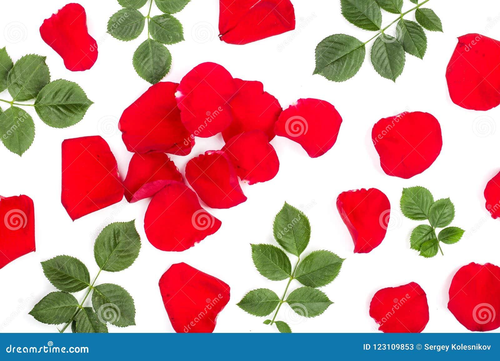 Petali Di Bella Rosa Rossa Con Le Foglie Isolate Su Fondo Bianco