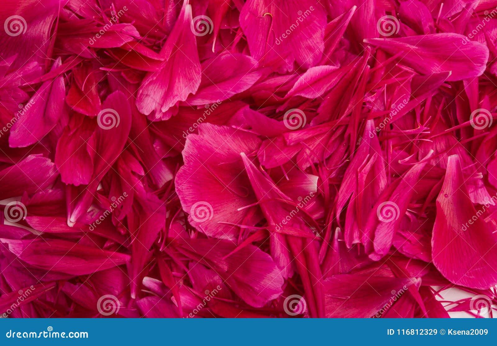 Petali rossi della peonia isolati