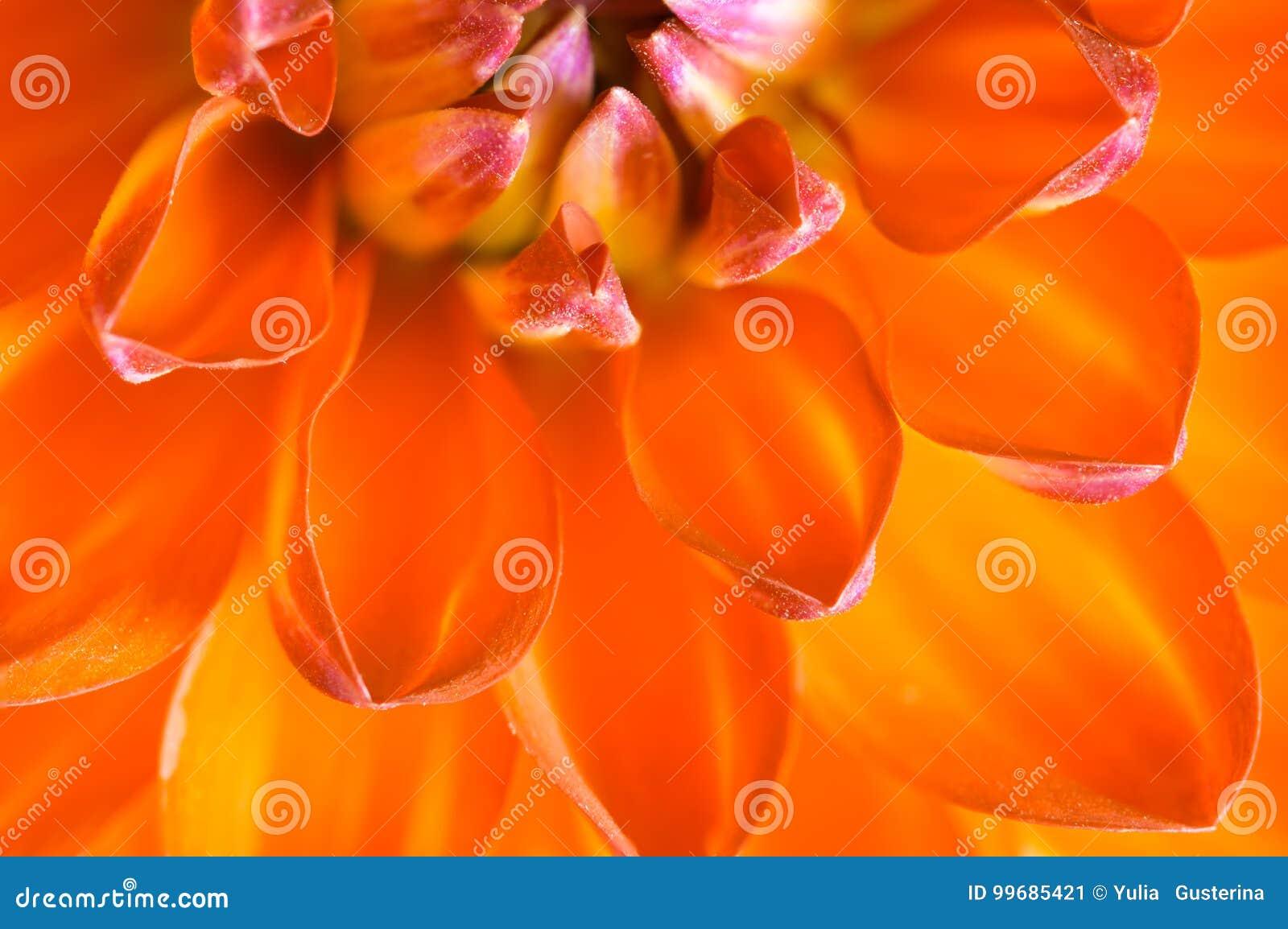 Petals of dahlias close-up. Selective soft focus.