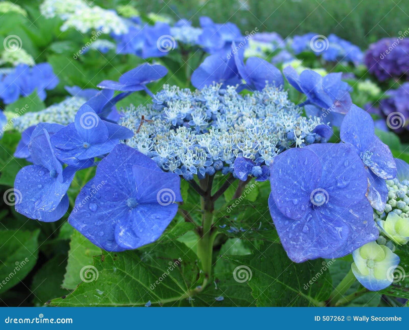 Petals för 1 blue