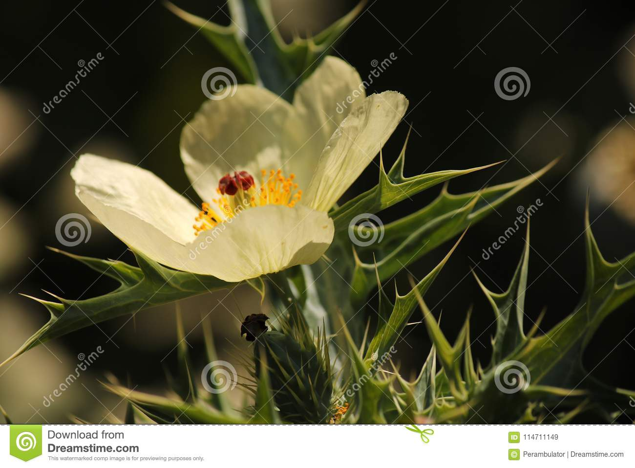 Petals Of Mexican Poppy Weed Flower Stock Image Image Of Dainty