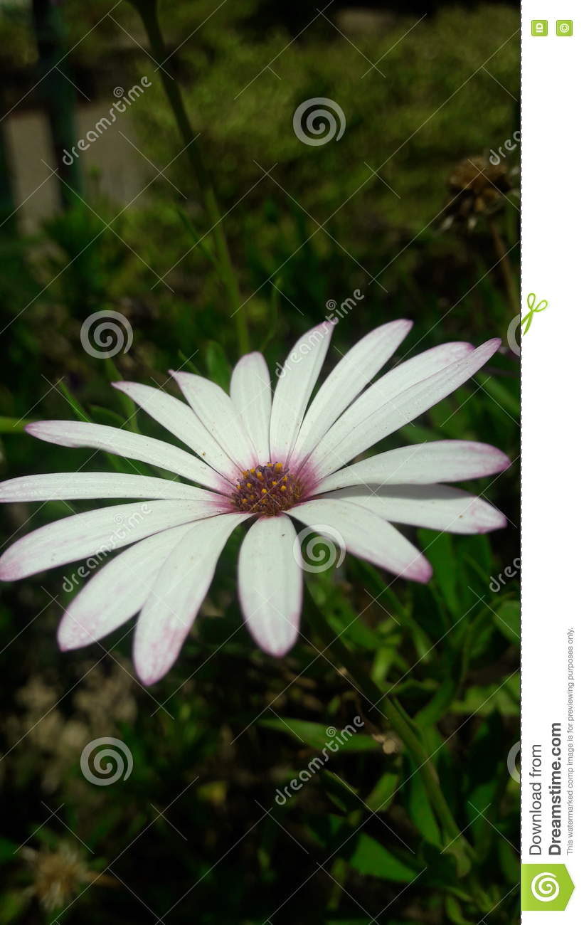 Petals white purple tips stock photo image of purple flower pretty white daisy type flower with purple tips centre izmirmasajfo