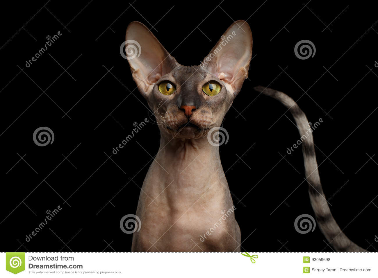 Petersburg Sphynx: photo, character, description of the breed and reviews