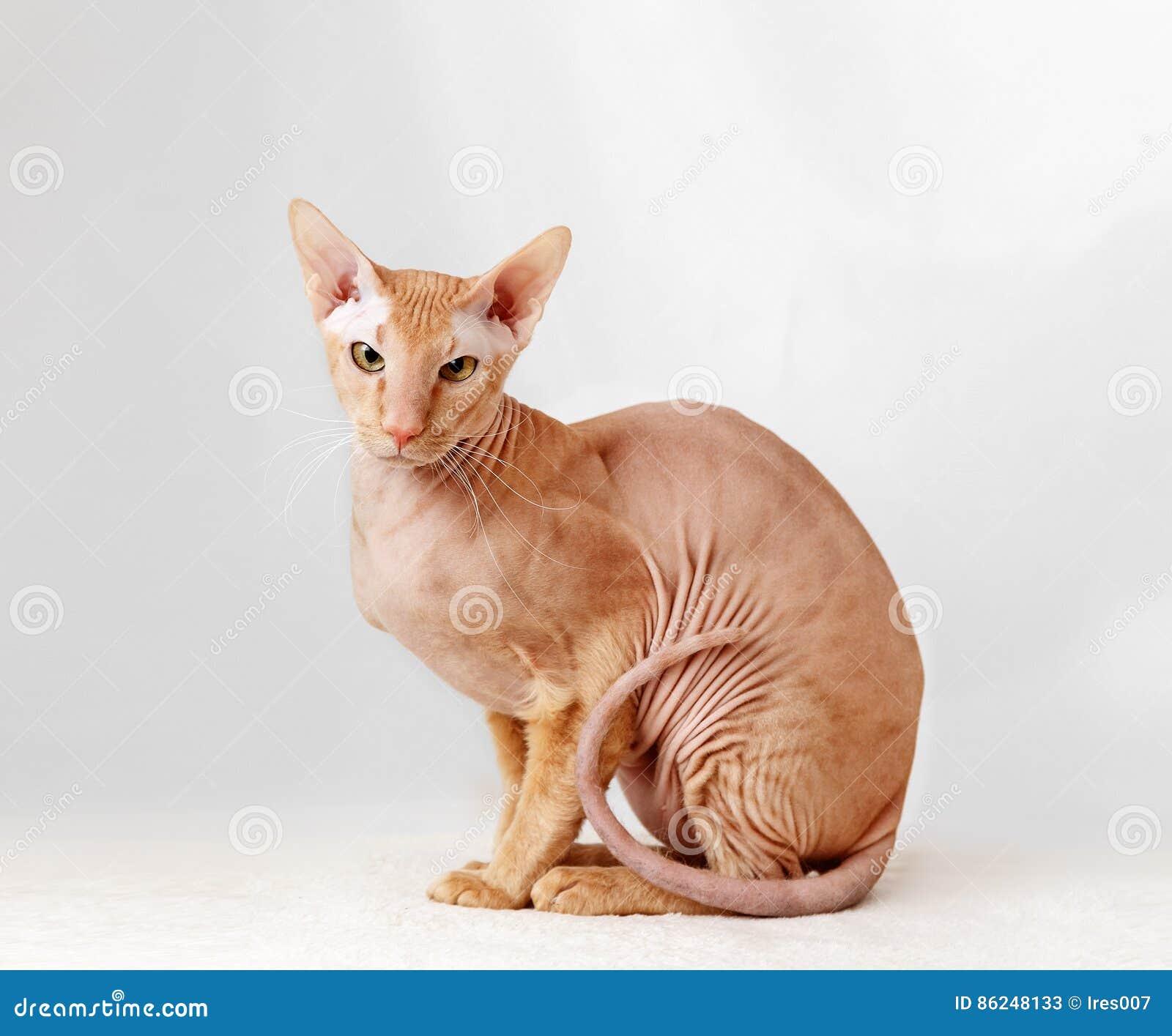 Peterbald katt, orientaliska Shorthair