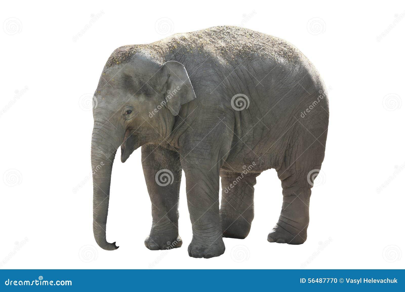 Petit, éléphant