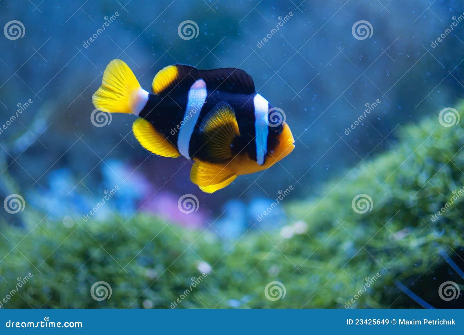 Petit anemonefish