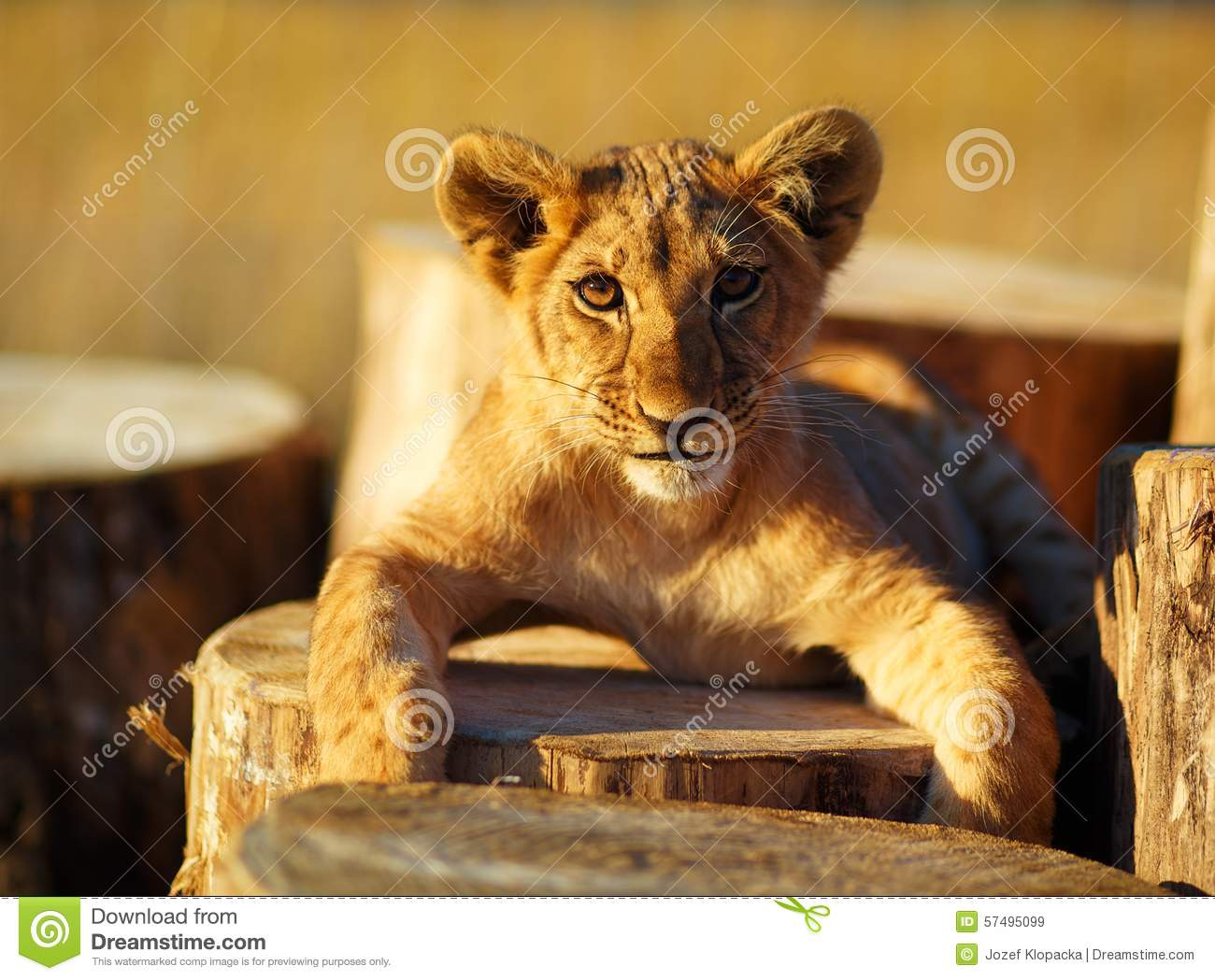 petit animal de lion dans la nature et le rondin en bois contact visuel image stock image du. Black Bedroom Furniture Sets. Home Design Ideas