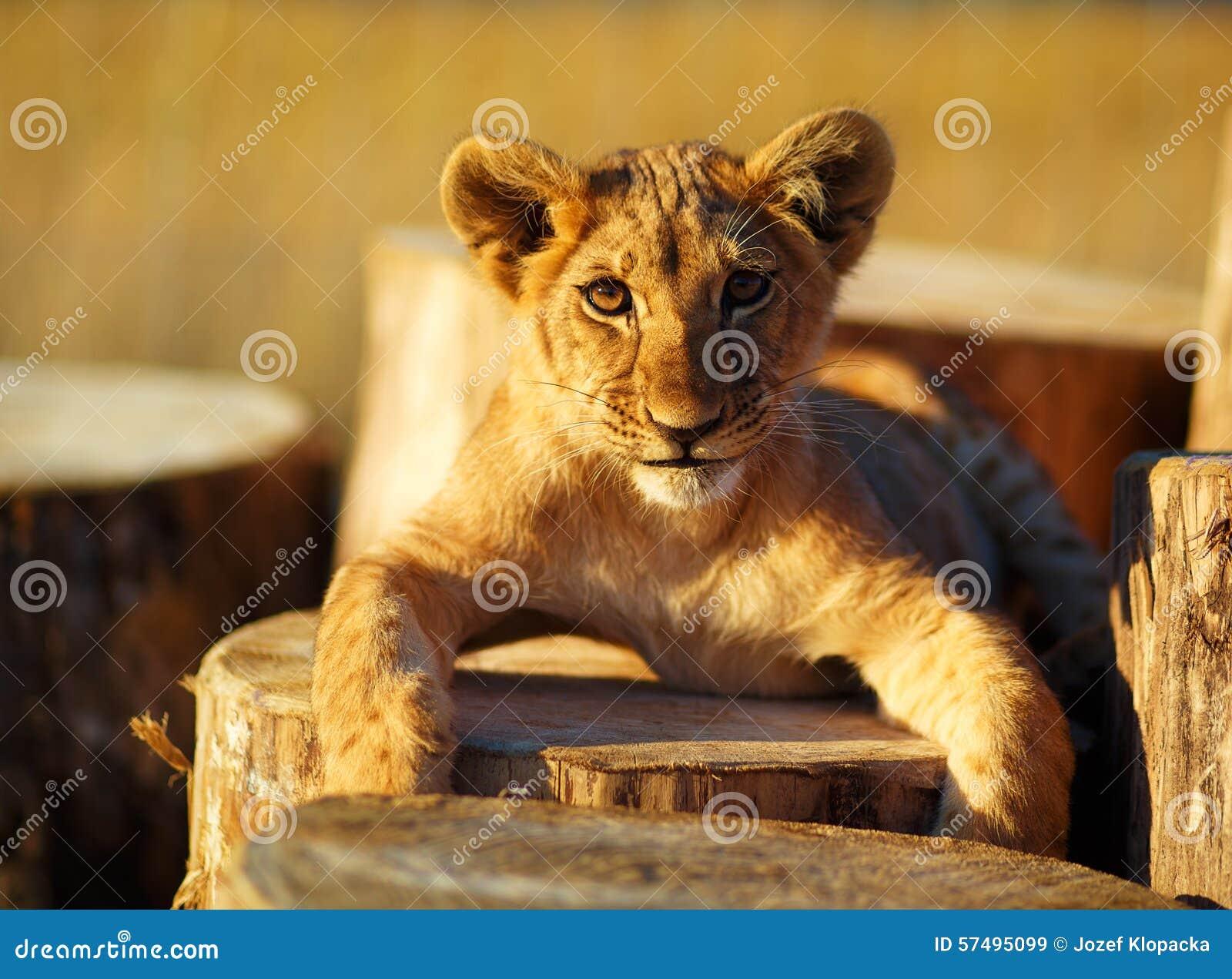 petit animal de lion dans la nature et le rondin en bois. Black Bedroom Furniture Sets. Home Design Ideas