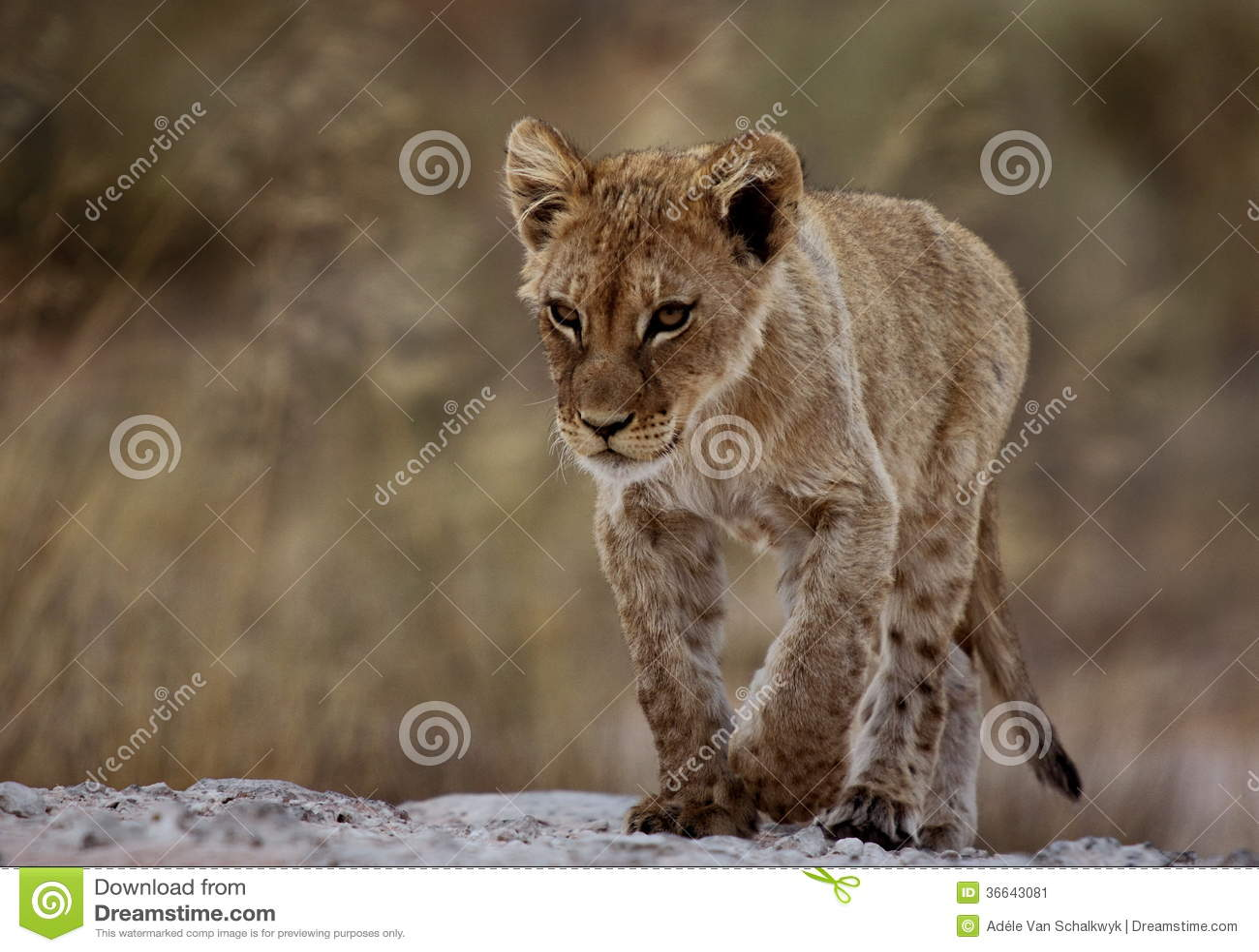 Petit animal de lion focalisé