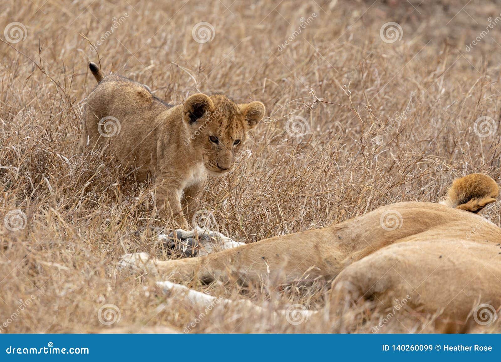 Petit animal de lion marchant vers la mère dans les prairies sur Masai Mara, Kenya Afrique