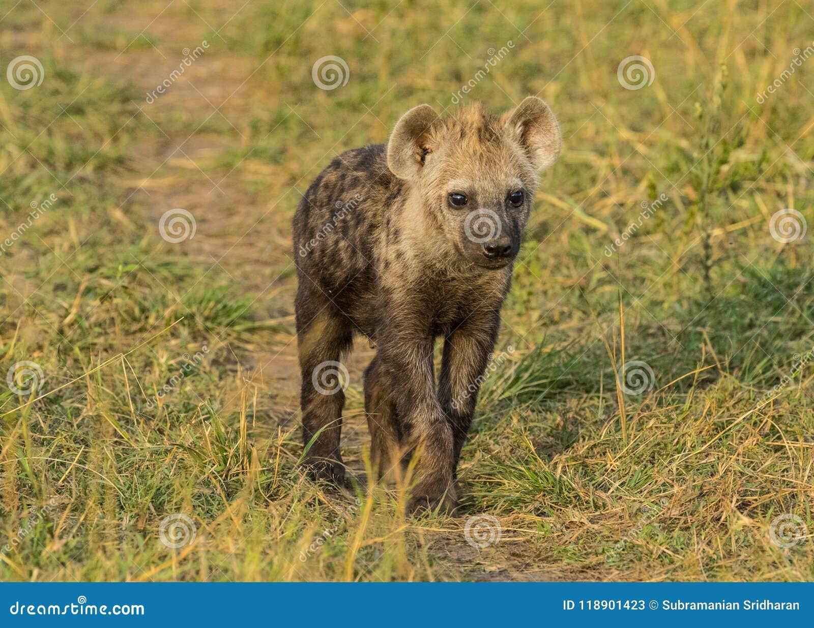 Petit animal mignon d hyène