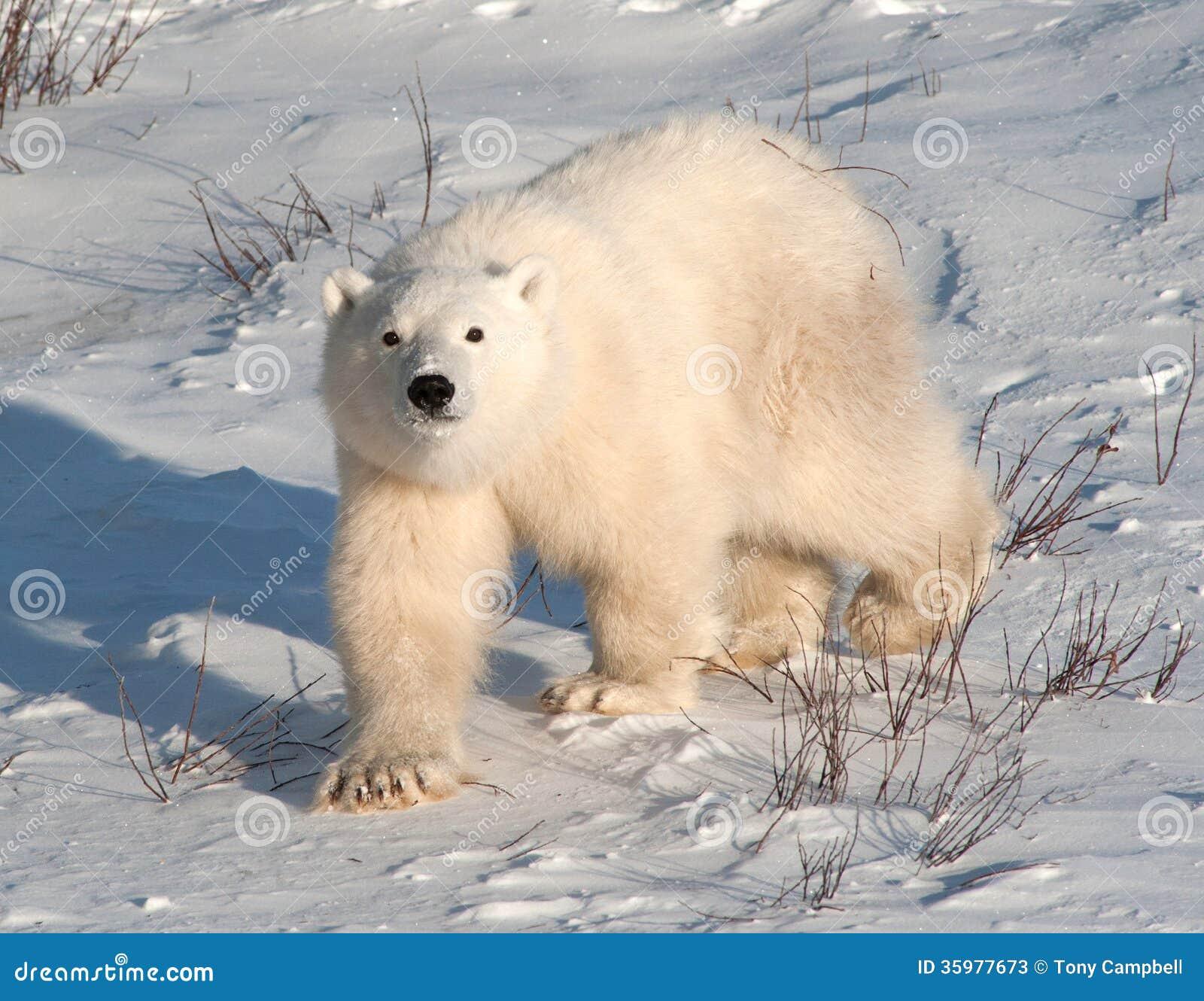 petit animal mignon d 39 ours blanc image stock image du polaire ch ri 35977673. Black Bedroom Furniture Sets. Home Design Ideas