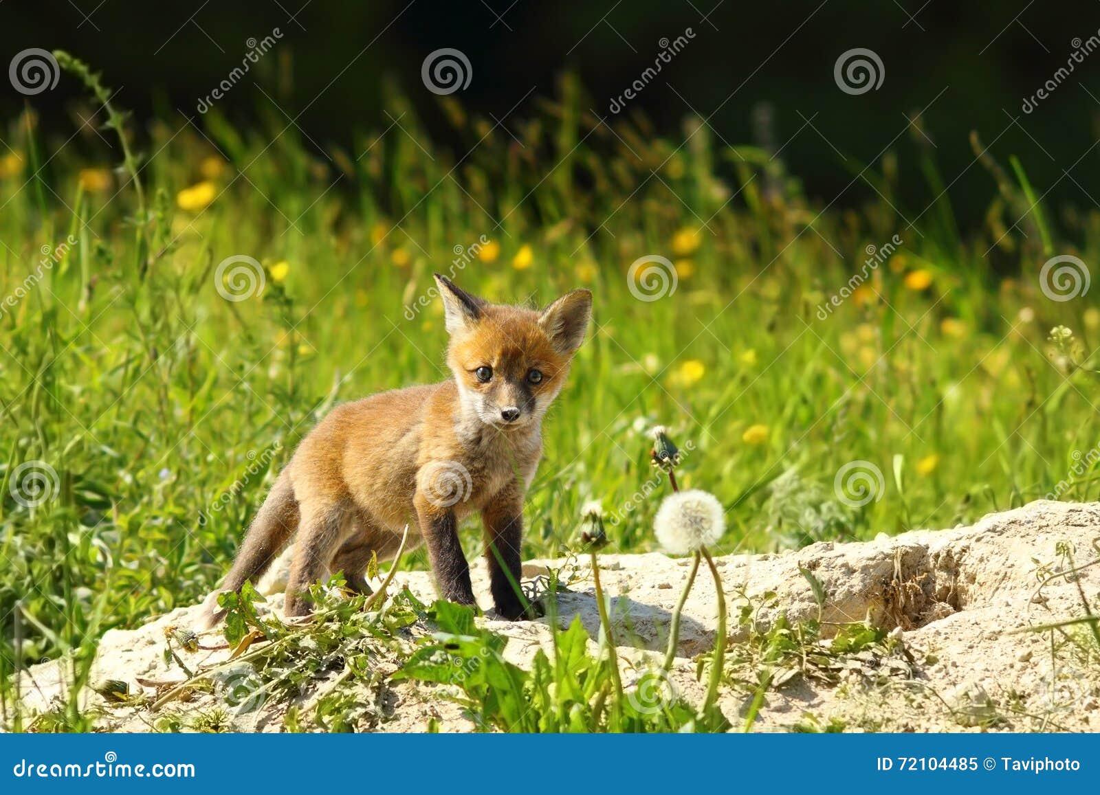 petit animal mignon de renard rouge regardant l 39 appareil photo image stock image du carnivore. Black Bedroom Furniture Sets. Home Design Ideas