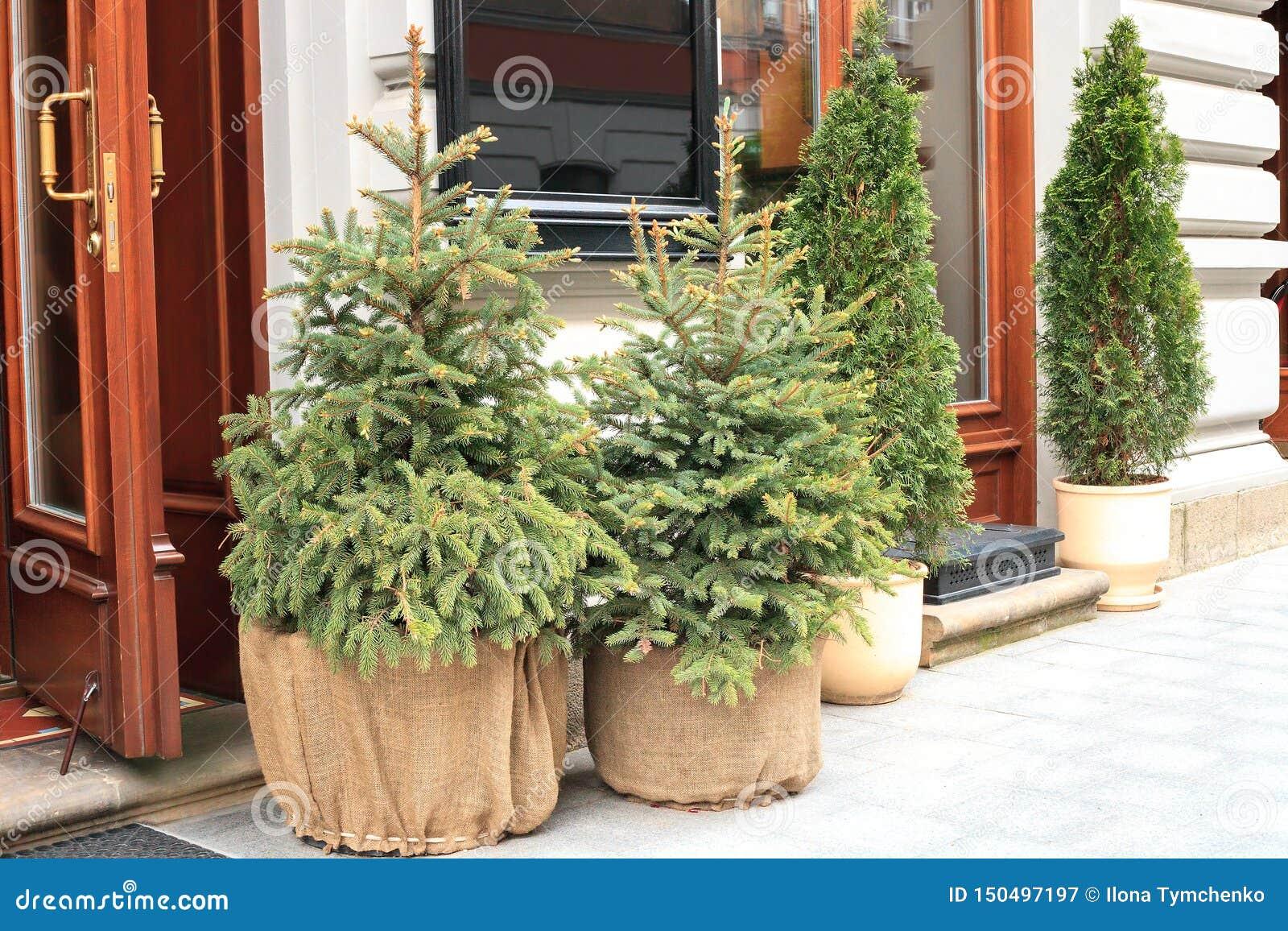 Arbre Persistant En Pot petit arbre de sapin à feuilles persistantes mis en pot de