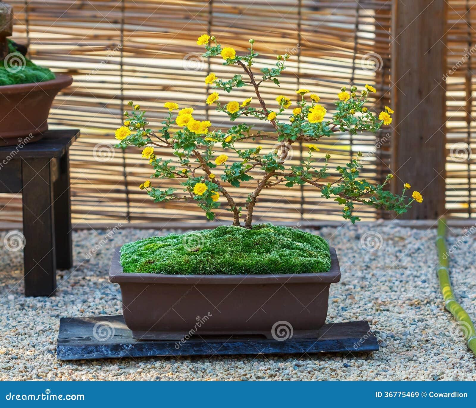 petit arbre japonais de bonsa s images libres de droits. Black Bedroom Furniture Sets. Home Design Ideas