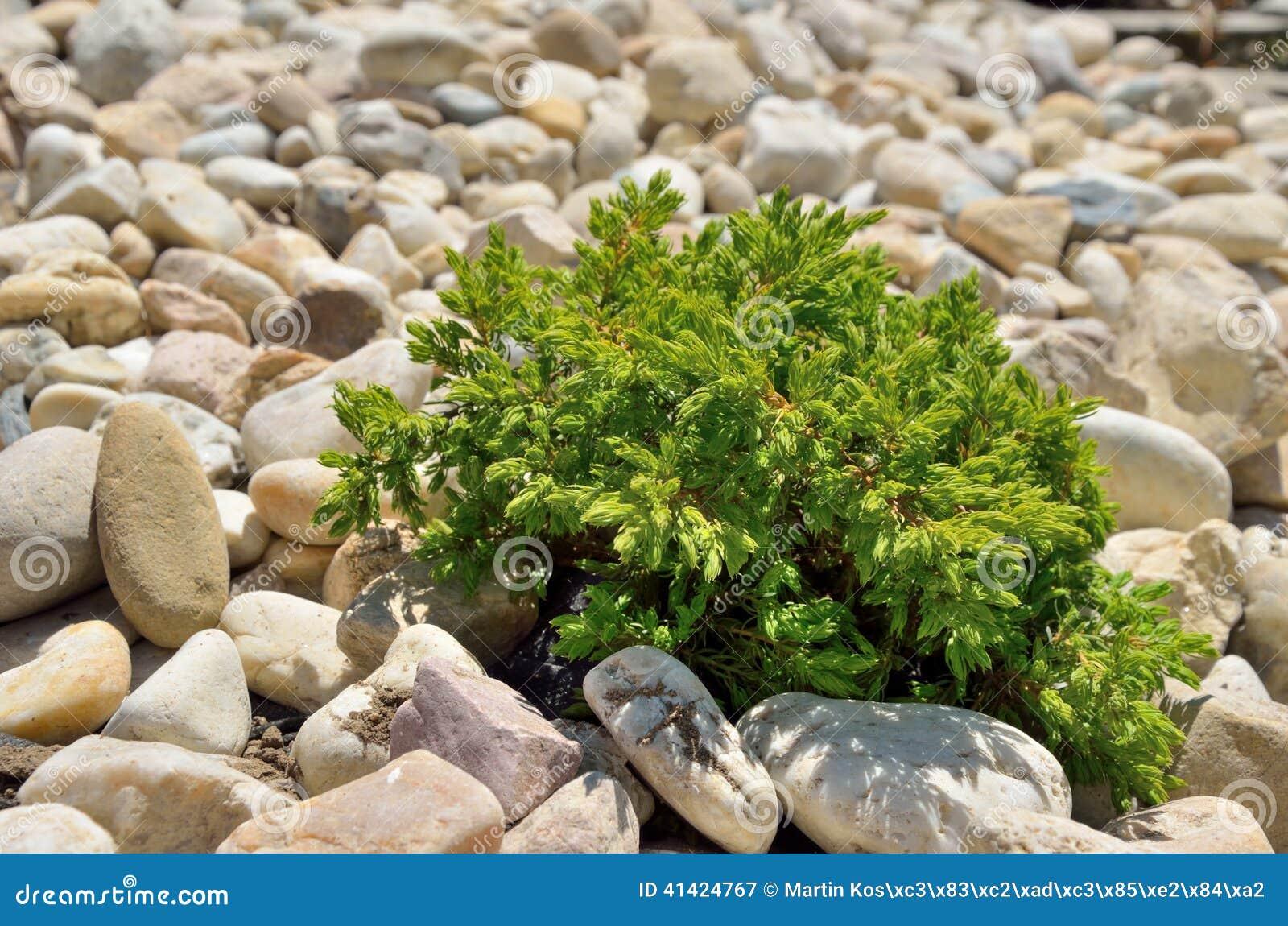 petit arbuste dans les pierres image stock image du fond rural 41424767. Black Bedroom Furniture Sets. Home Design Ideas