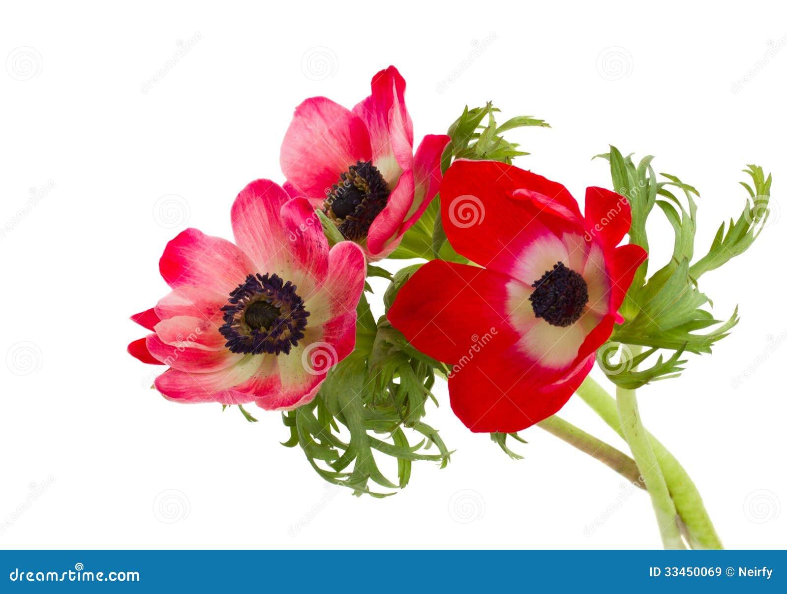 petit bouquet des fleurs d 39 an mone images libres de droits image 33450069. Black Bedroom Furniture Sets. Home Design Ideas