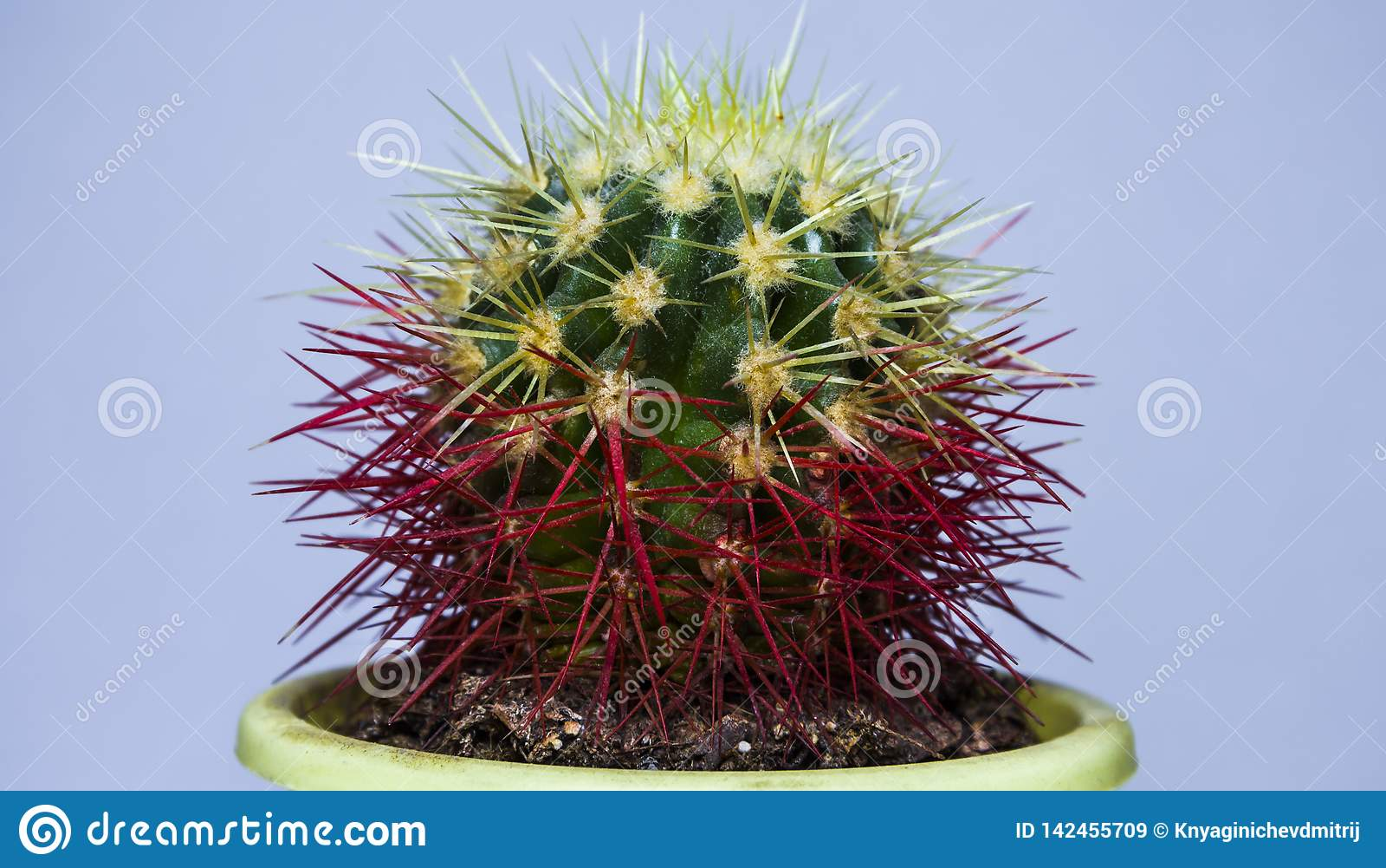 Petit cactus Vue de plan rapproché Sur un fond blanc - Images