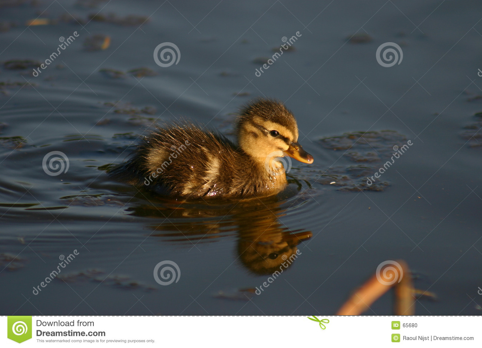 Petit canard de Woudrichem