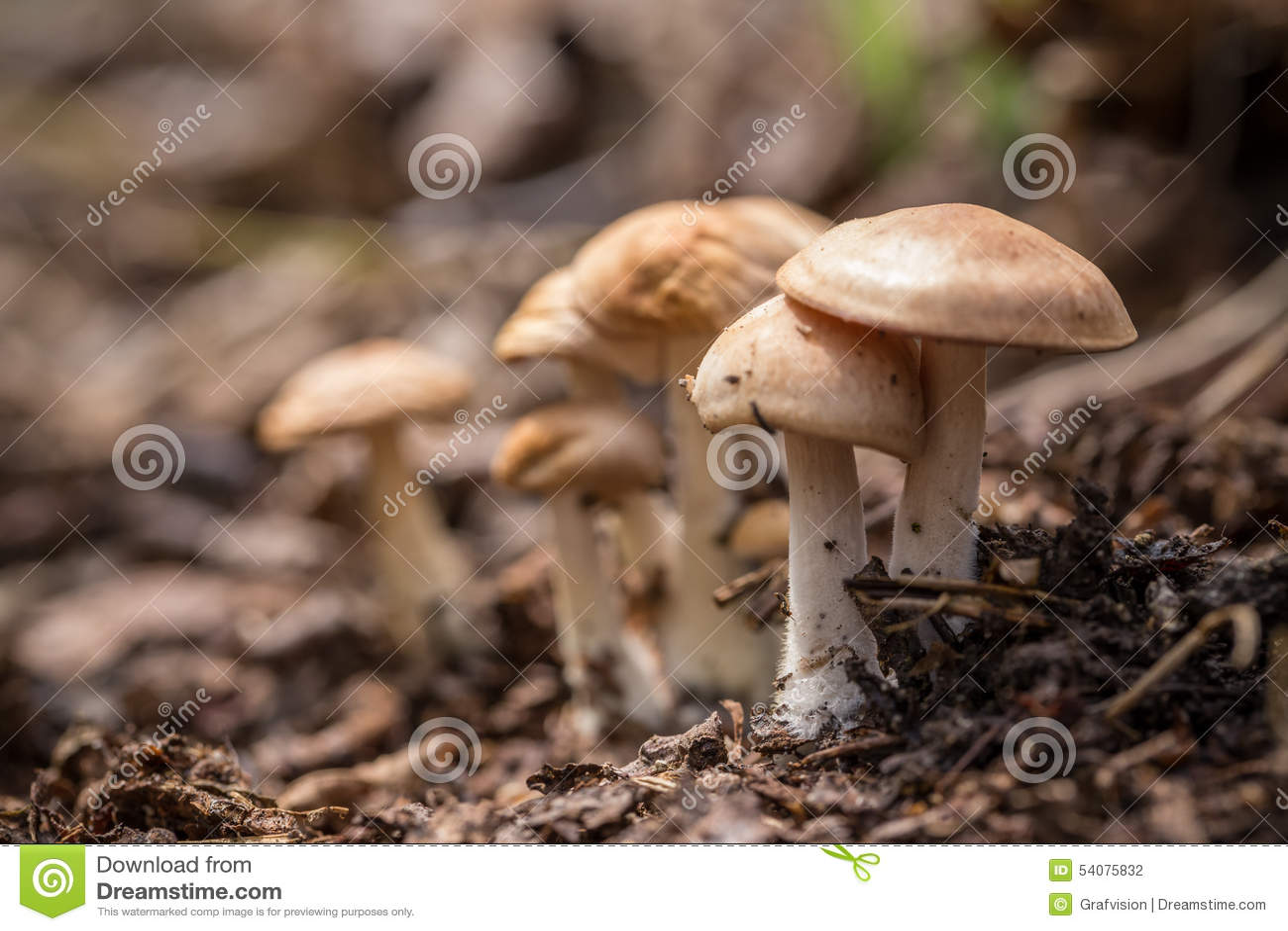Petit champignon de couche