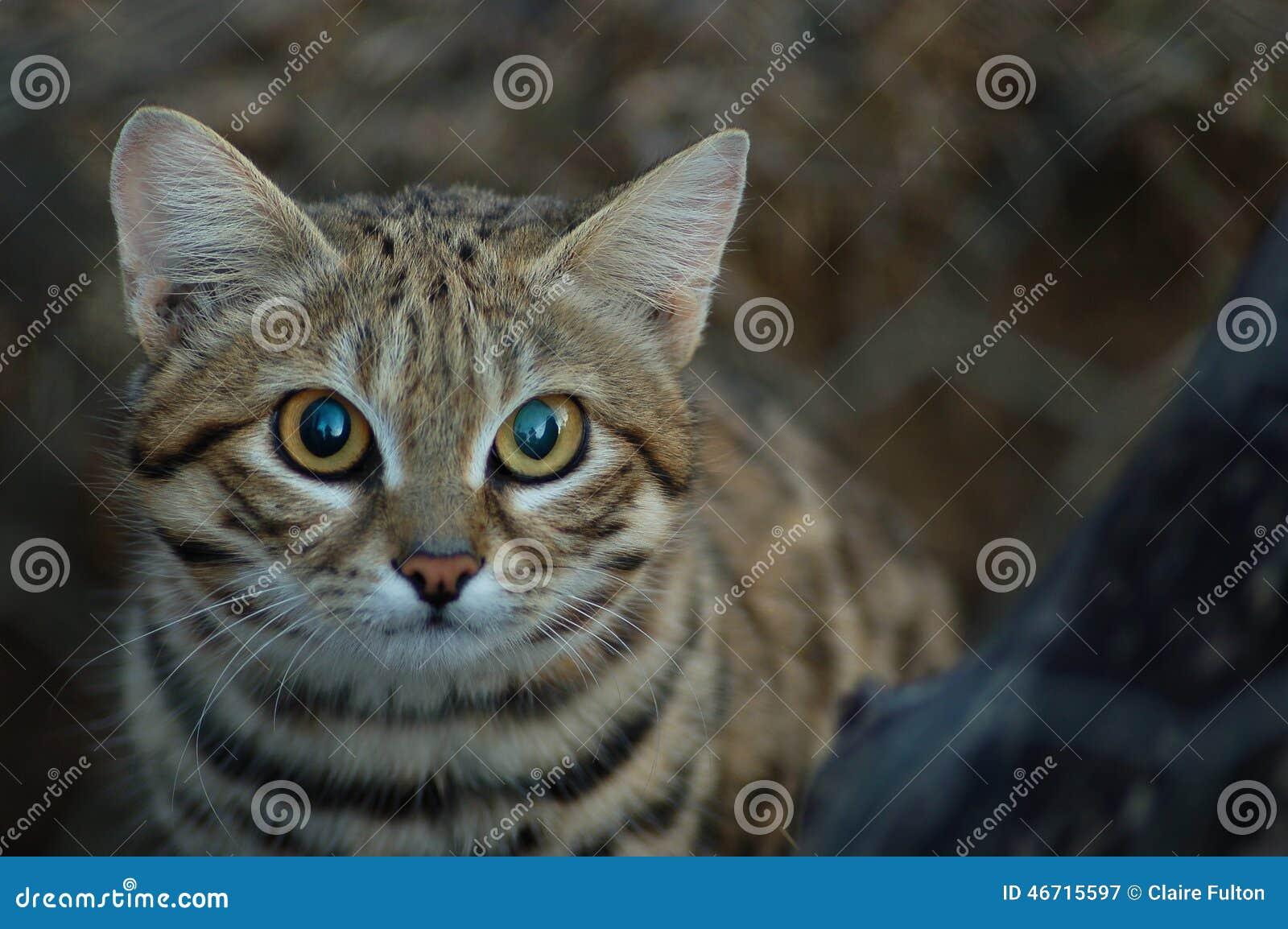 Petit chat aux pieds noir (negripes de felis)