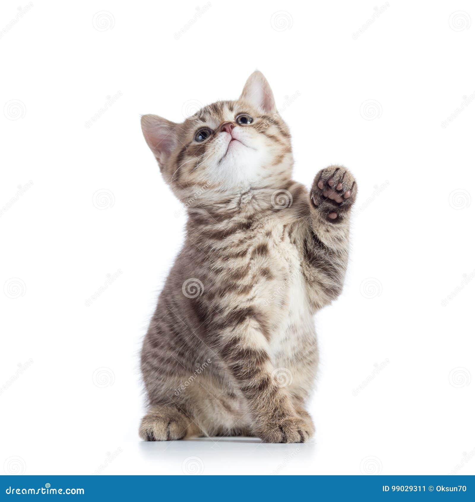 Petit chat avec la patte augmentée