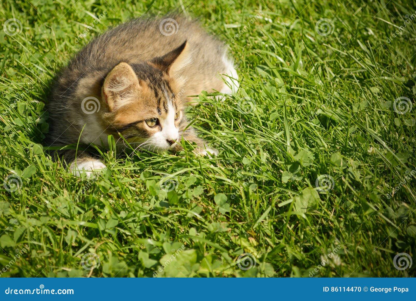 petit chat jouant dans l 39 herbe photo stock image du visage vert 86114470. Black Bedroom Furniture Sets. Home Design Ideas