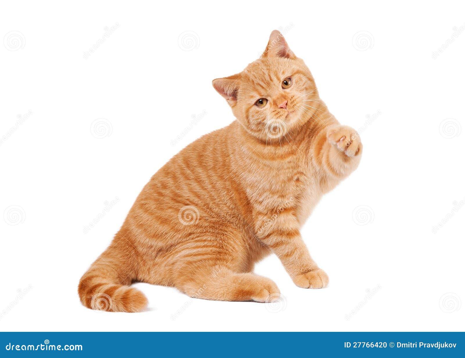 Petit chaton britannique rouge
