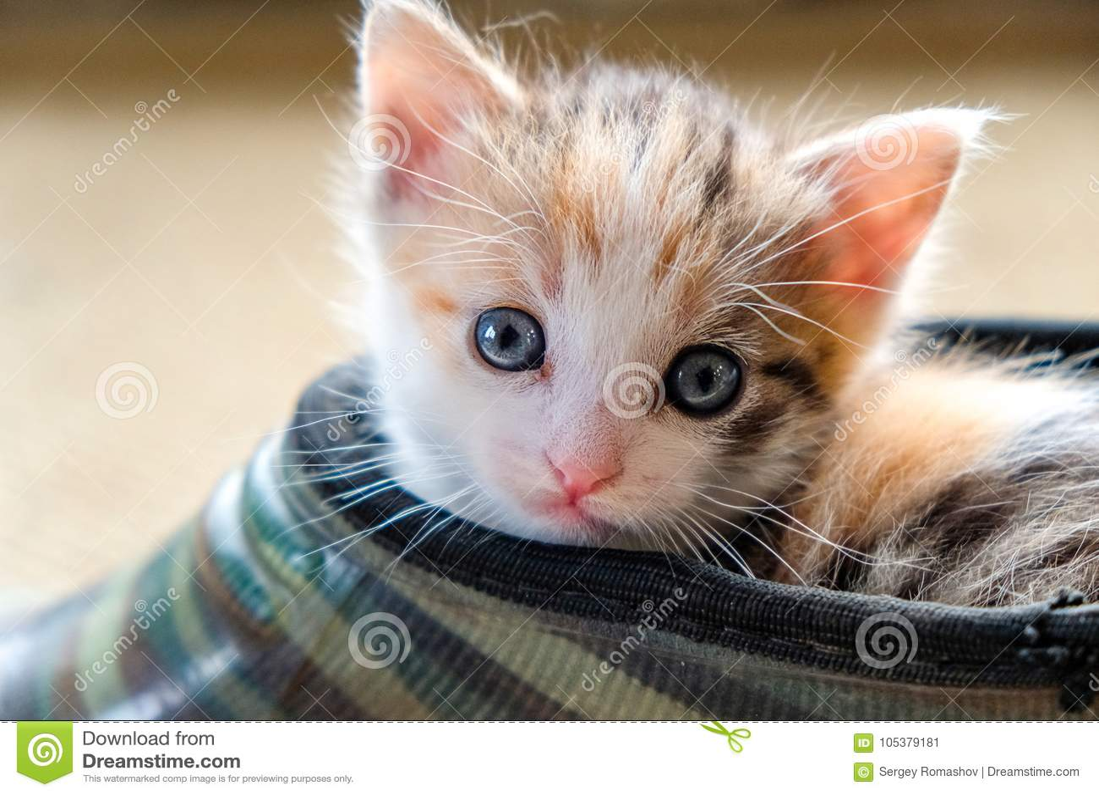 Petit chaton dans la chaussure