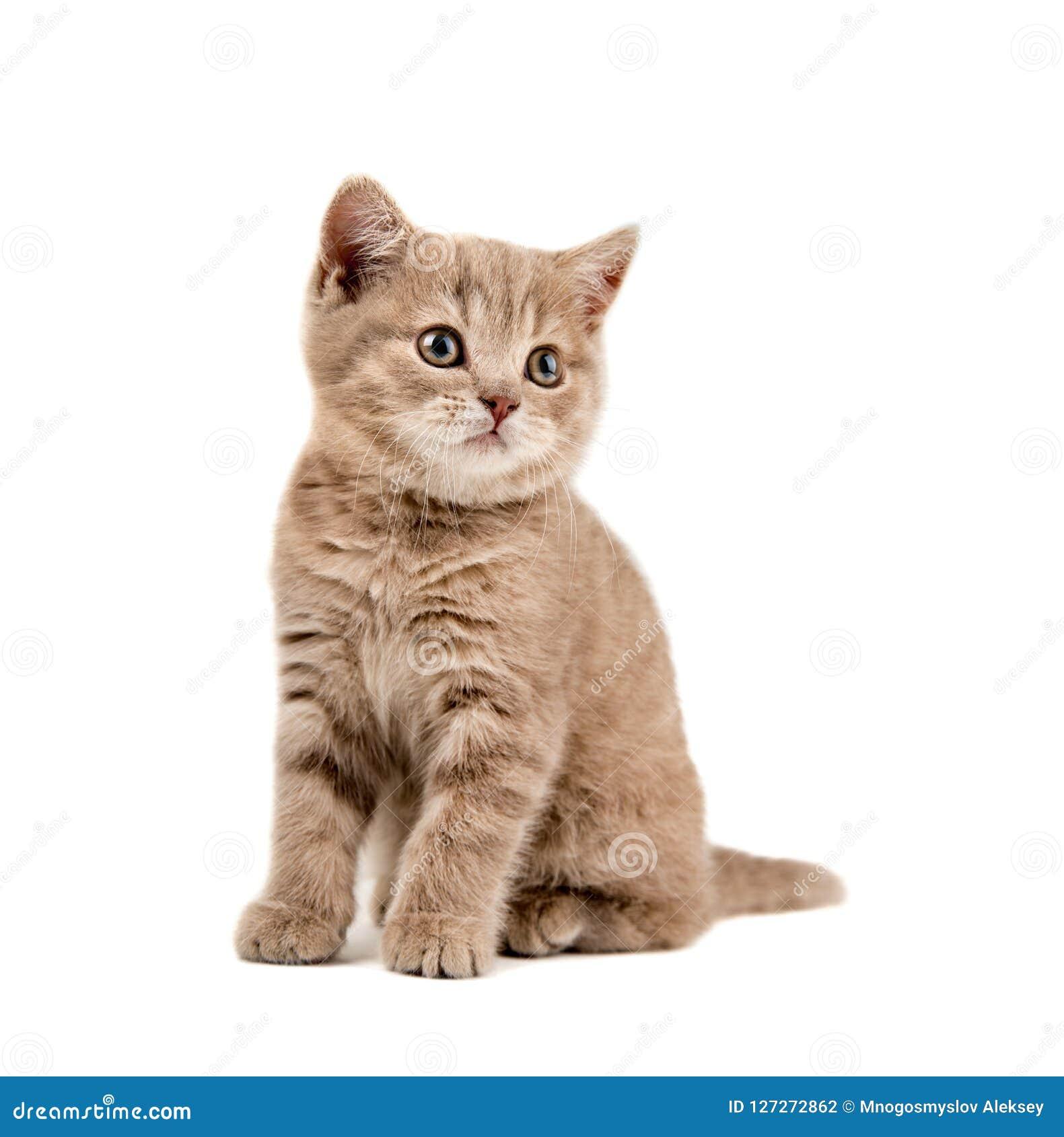 Petit chaton de Brown