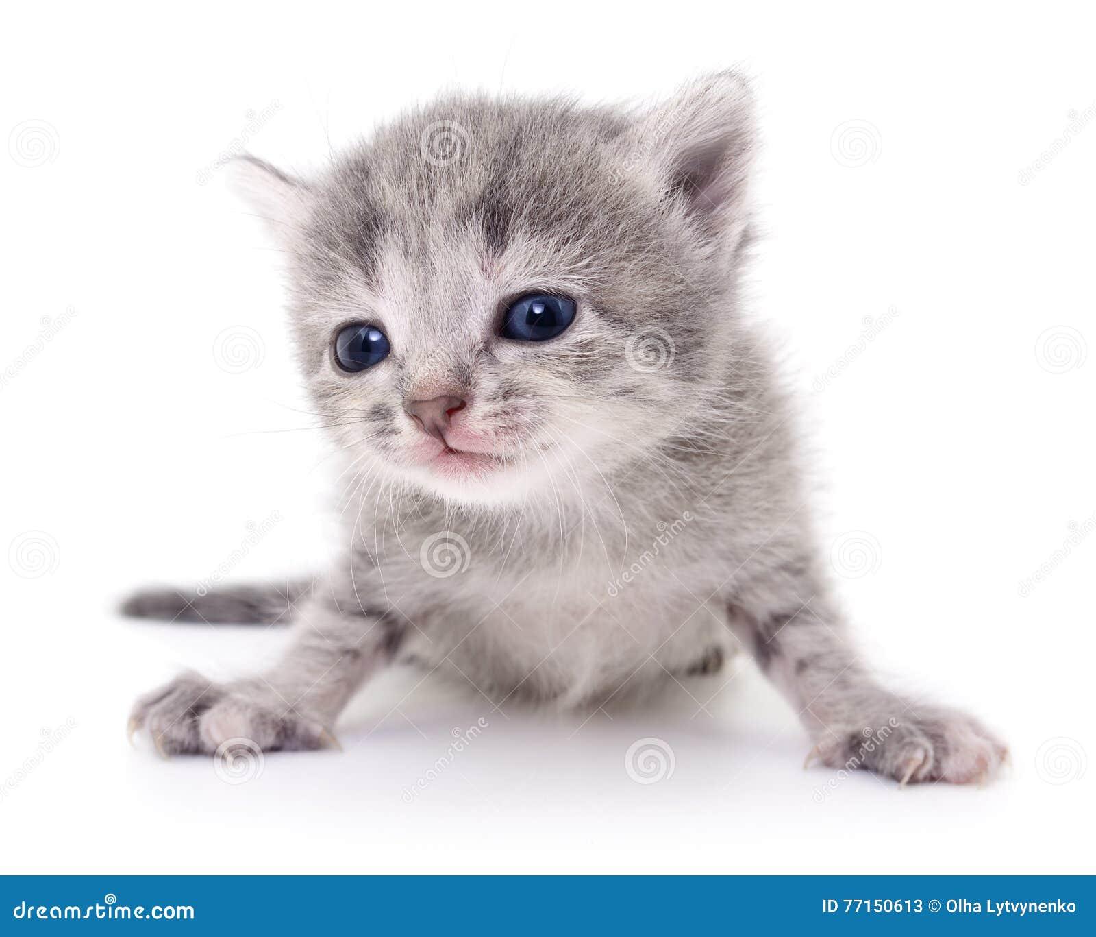 Petit chaton gris