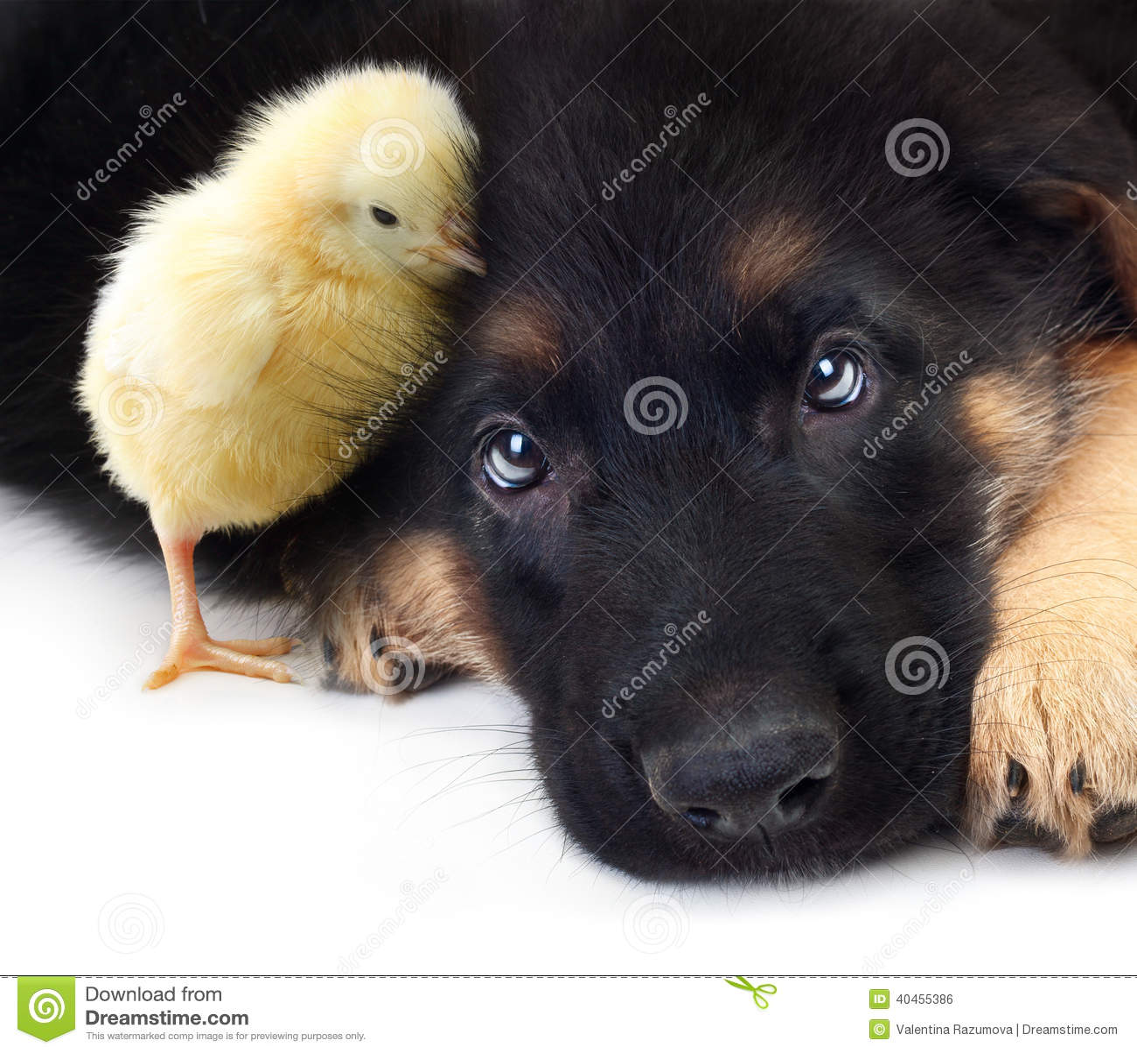 animal mignon petit chien - photo #43