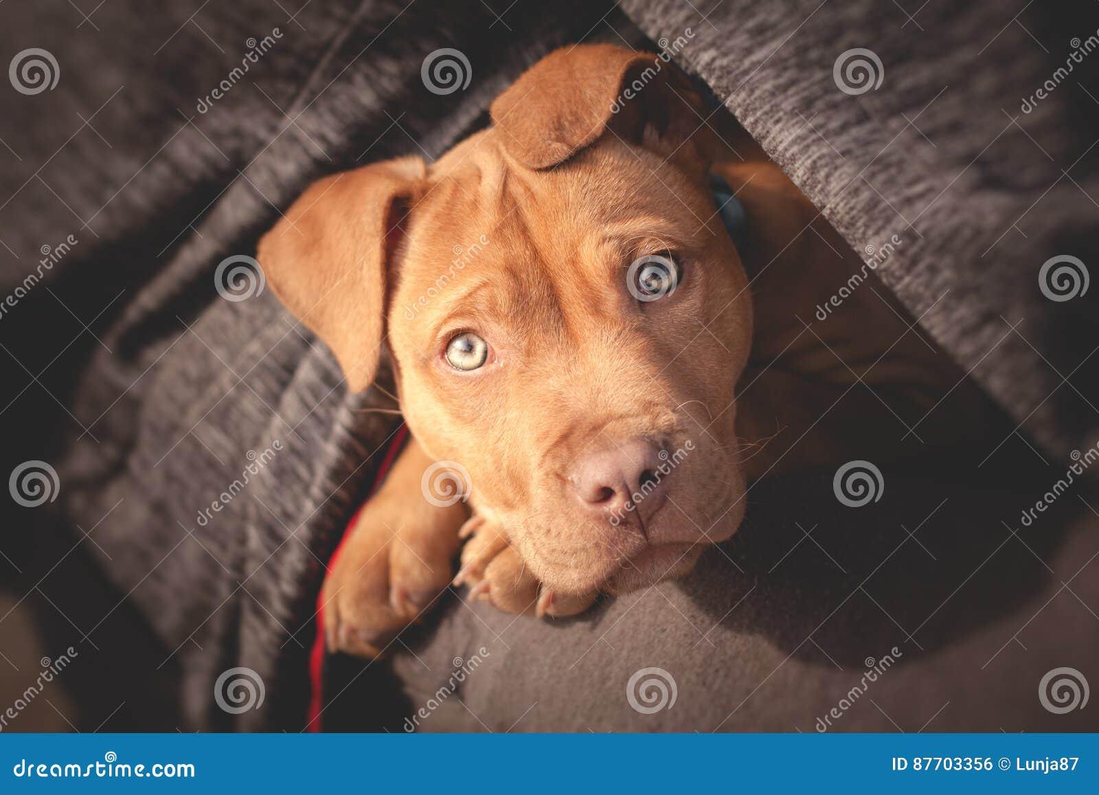 Petit chien mignon regardant de la poitrine du ` s de l homme