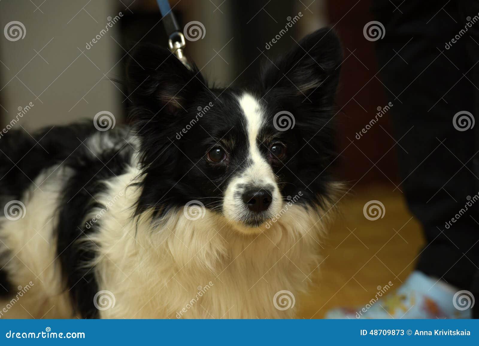 petit chien noir et blanc photo stock image 48709873. Black Bedroom Furniture Sets. Home Design Ideas