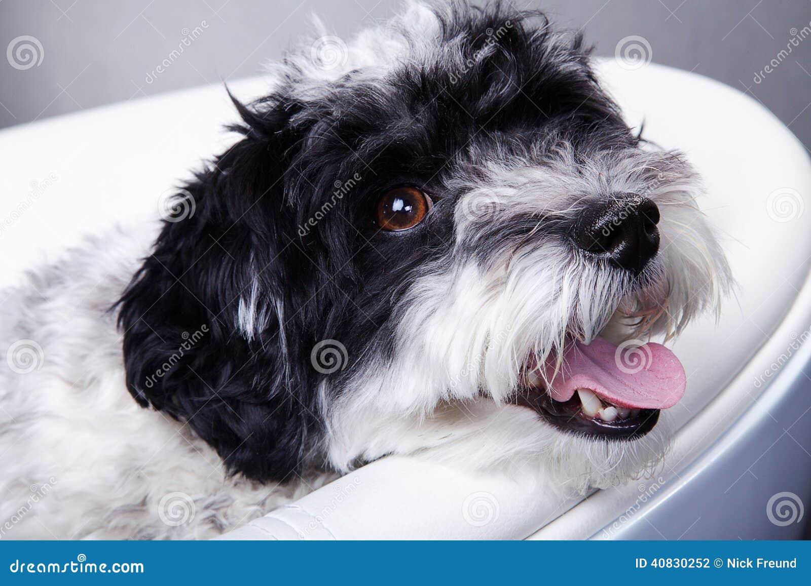 image petit chien noir et blanc. Black Bedroom Furniture Sets. Home Design Ideas
