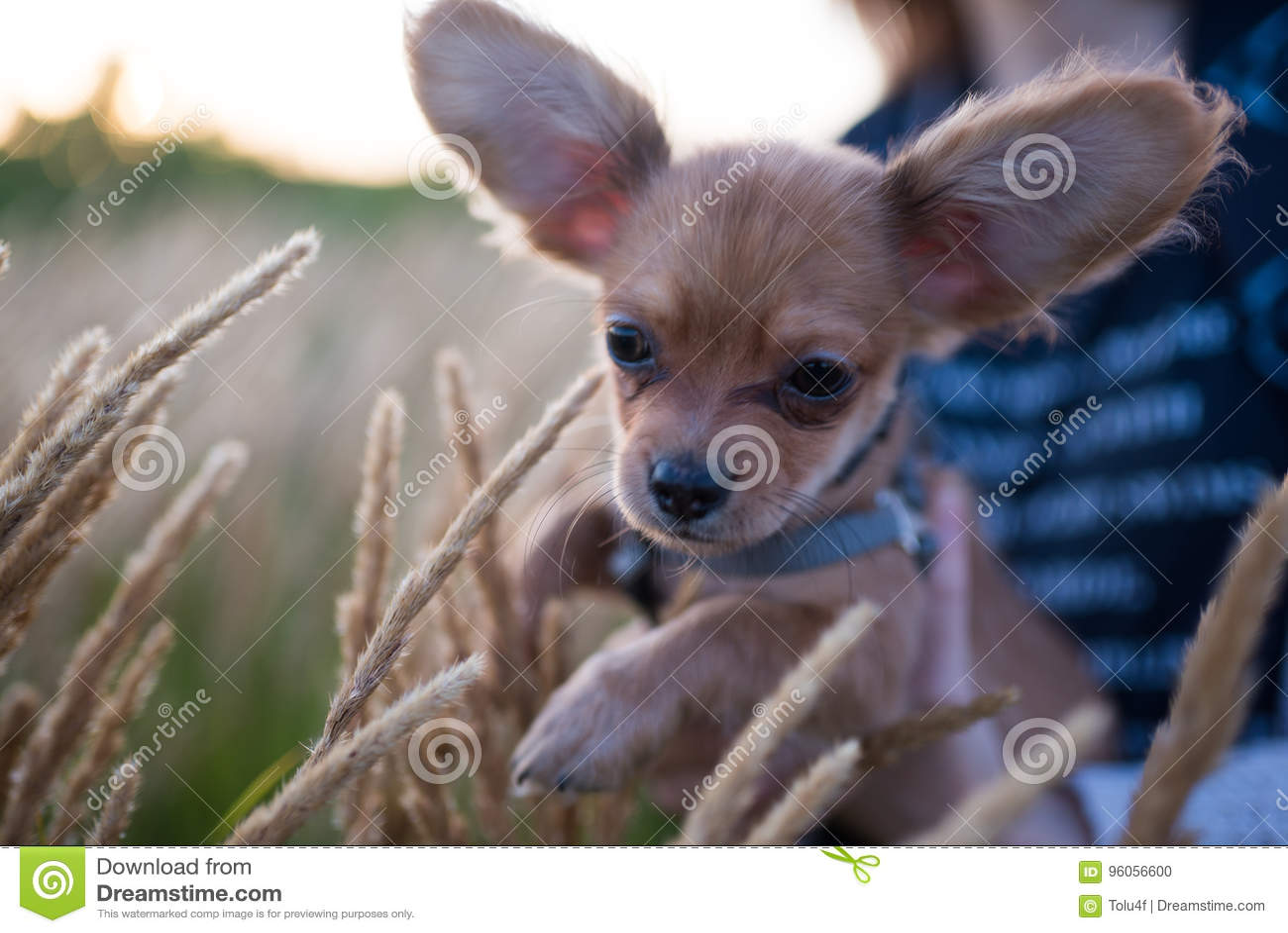 Petit chiot de chiwawa pour la première fois sur une promenade et jouer en nature sur le champ