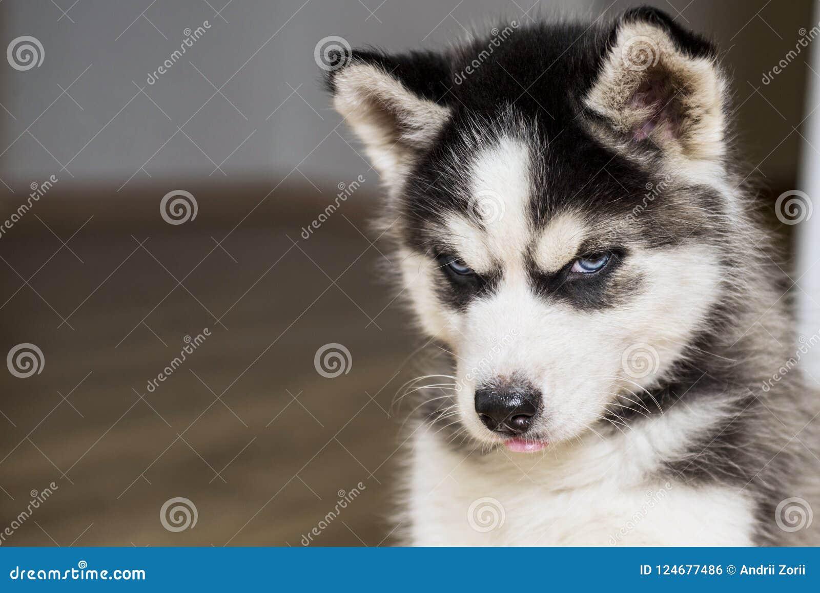 Petit chiot mignon de chien de traîneau sibérien Tête aux yeux bleus de chiot de chien de traîneau sibérien
