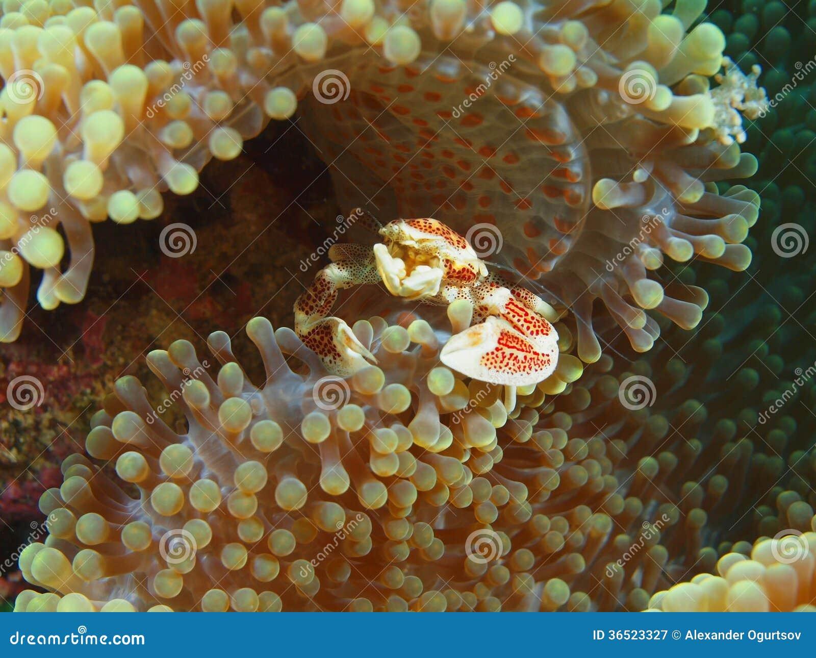 Petit crabe sur une anémone