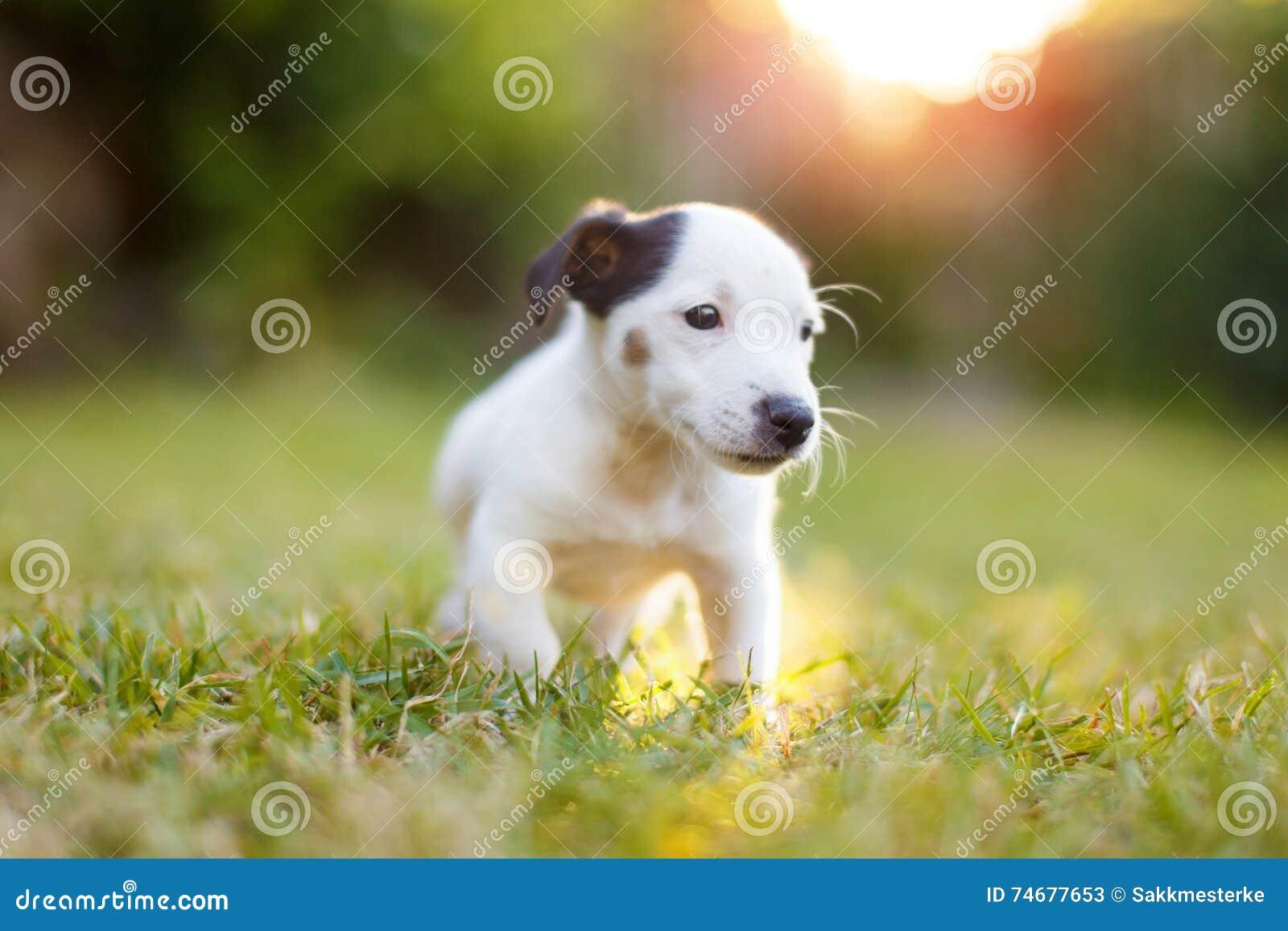 Petit enfant de Jack Russell Terrier dans le coucher du soleil