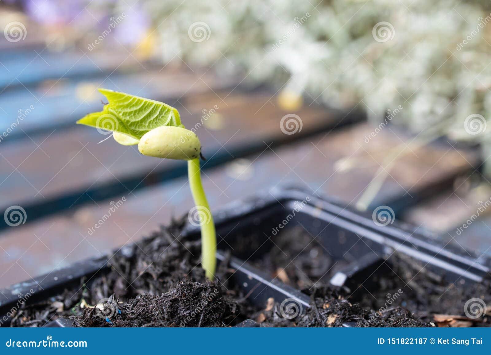 Petit Français germé frais Bean Seedling dans le pot