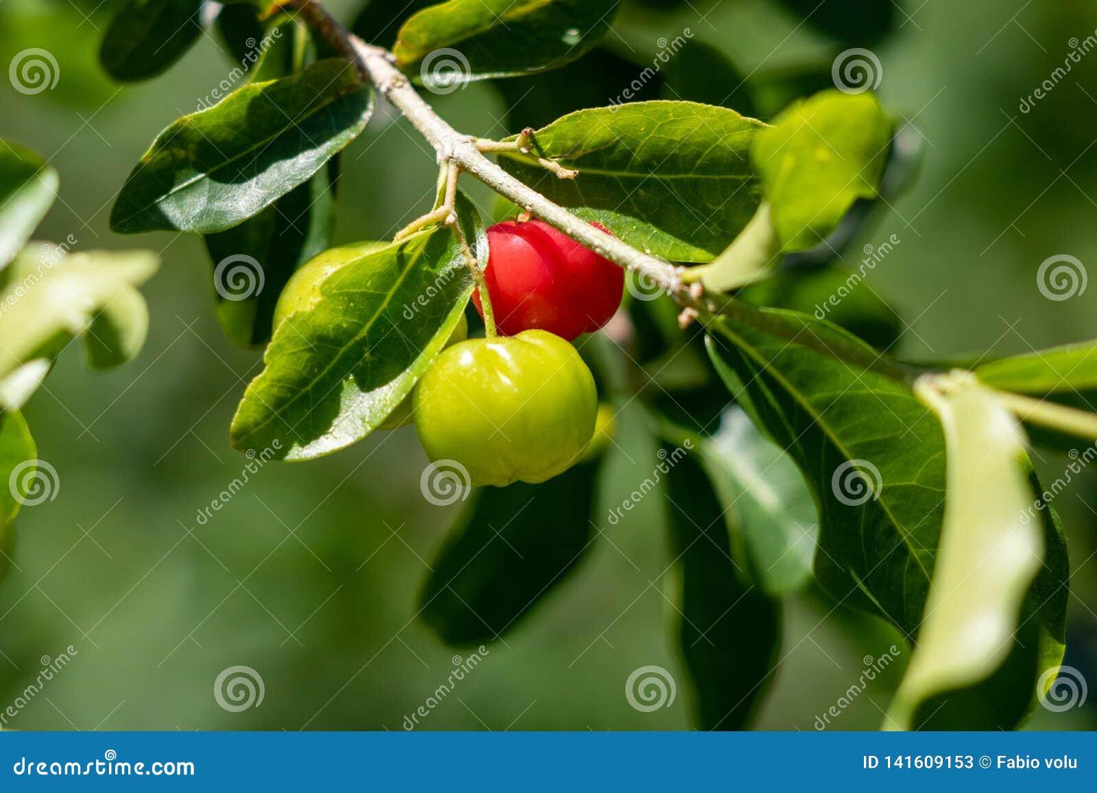 Petit fruit de cerise d Acerola sur l arbre La cerise d Acerola est haute vitamine C et fruits antioxydants Foyer sélectif