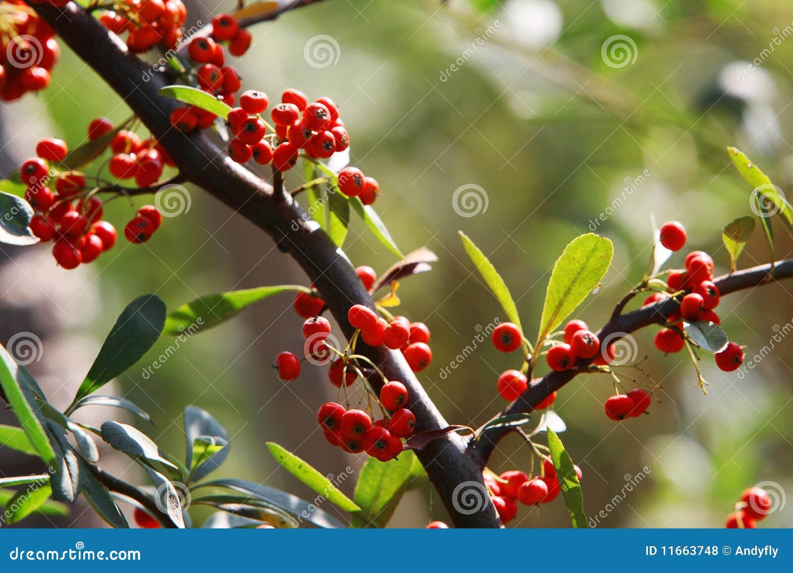 petit fruit rouge photos libres de droits image 11663748. Black Bedroom Furniture Sets. Home Design Ideas