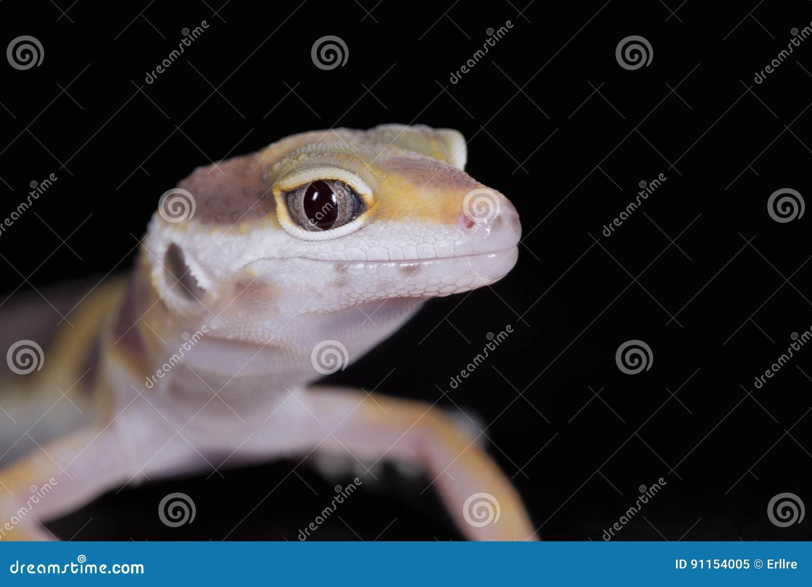 Petit gecko de léopard