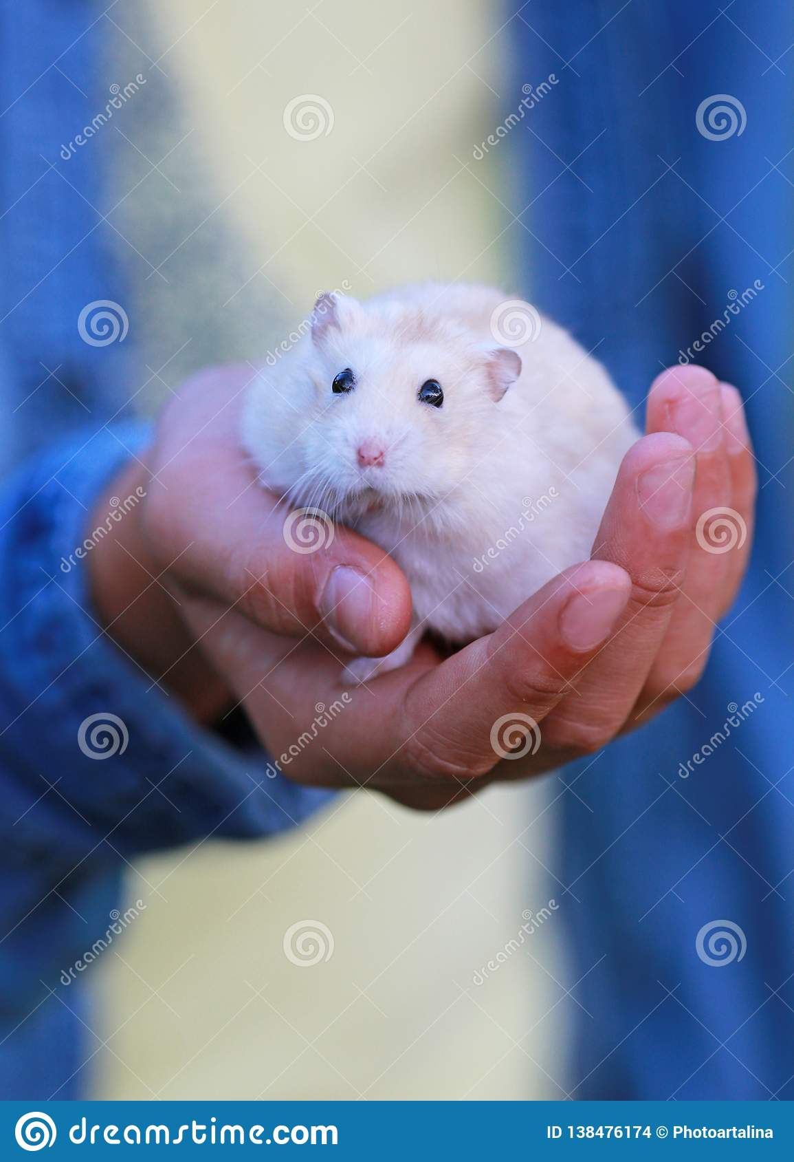 Petit hamster blanc à disposition